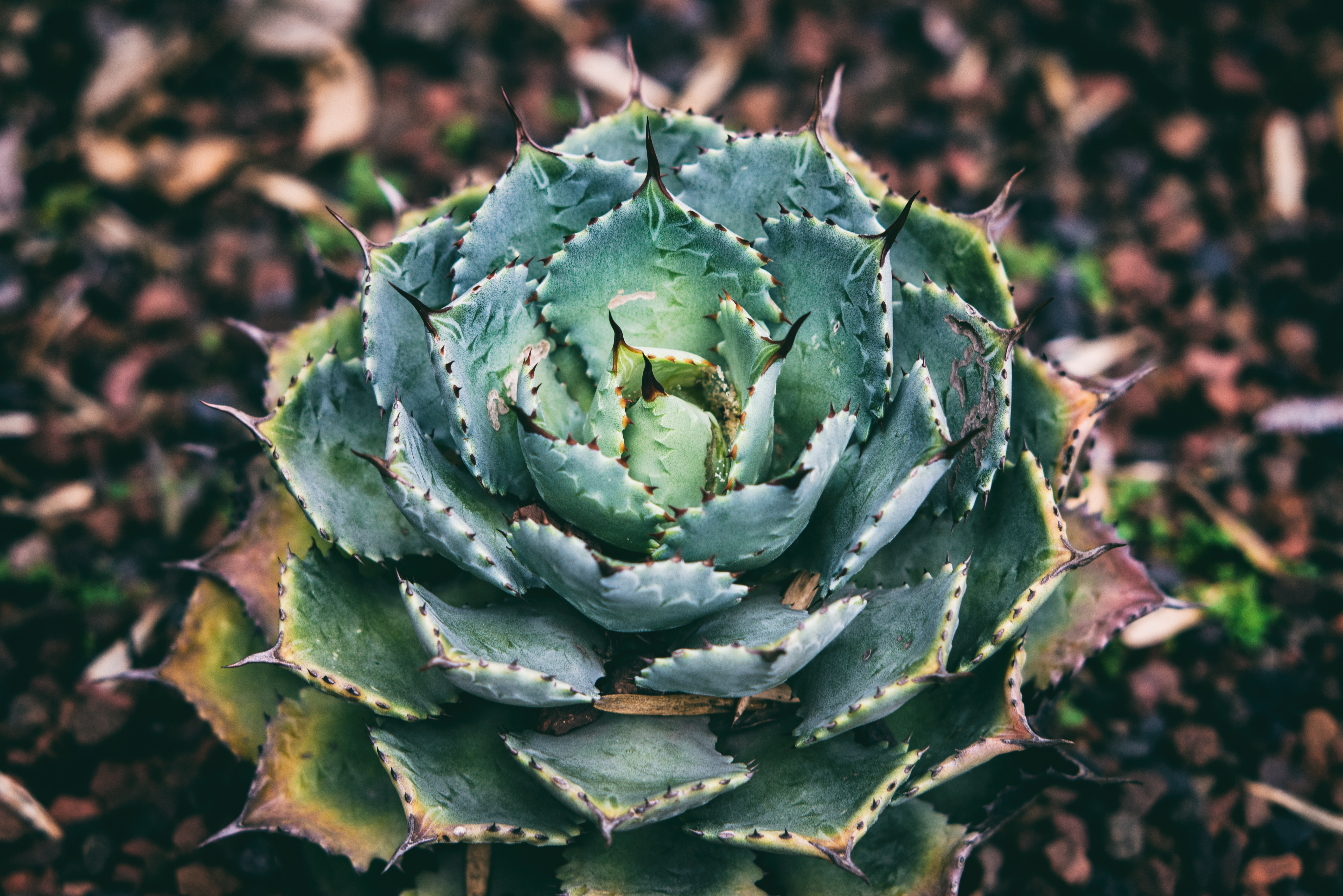 succulent  plant  spiky and nature hd photo by armando