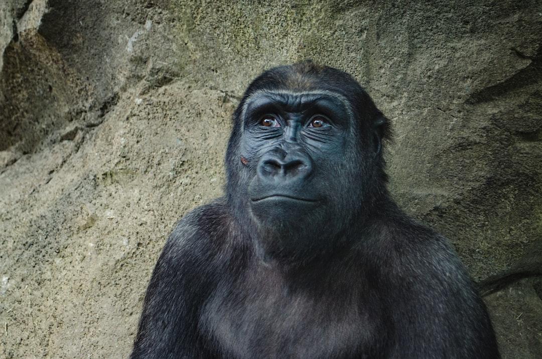 happy gorilla photo by kelly sikkema kellysikkema on unsplash