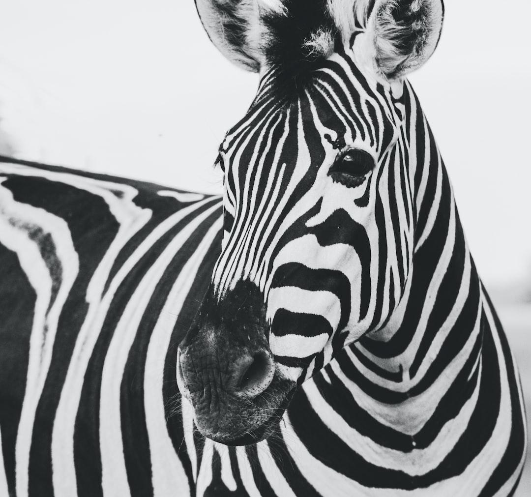 Zebra Animal Photo Free Black And White Image On Unsplash