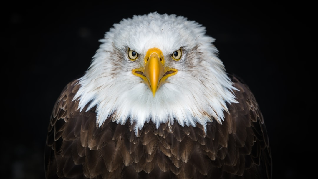 500+ Eagle Pictures   Download Free Images on Unsplash