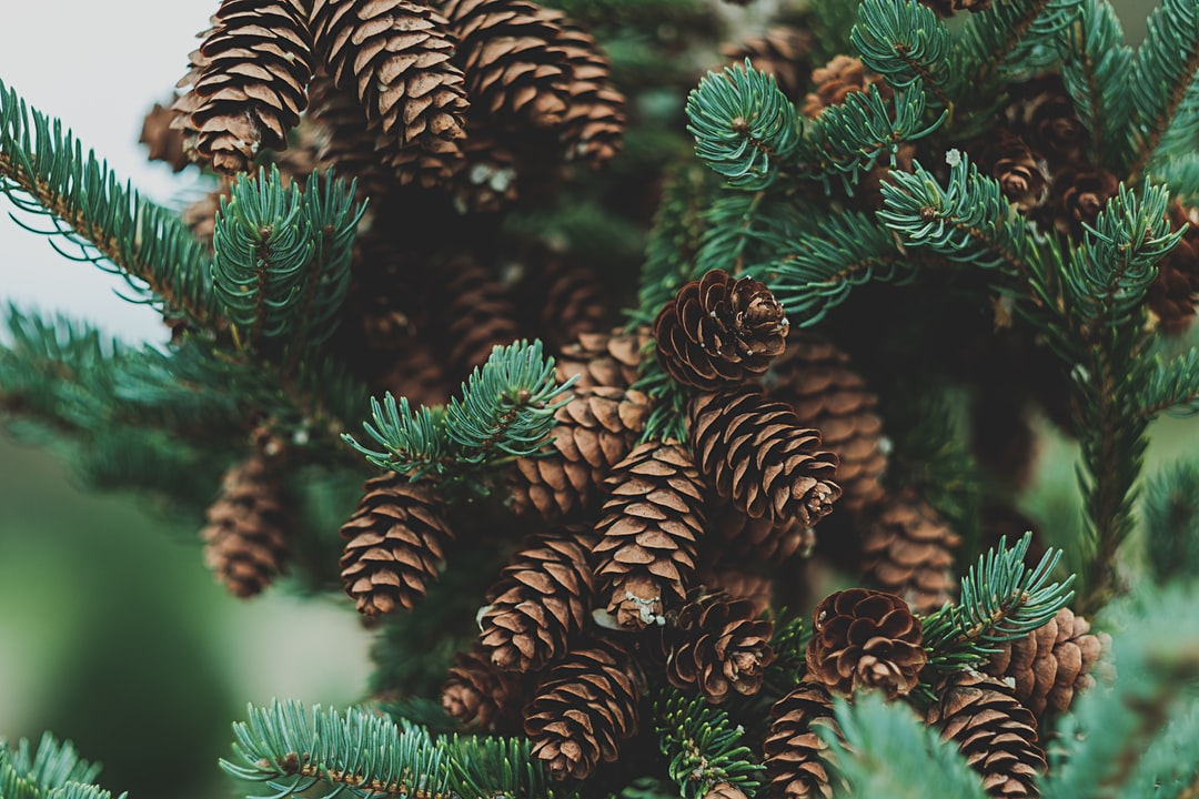 100 pine pictures download free images on unsplash