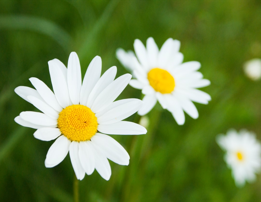 500 Daisy Pictures Download Free Images On Unsplash