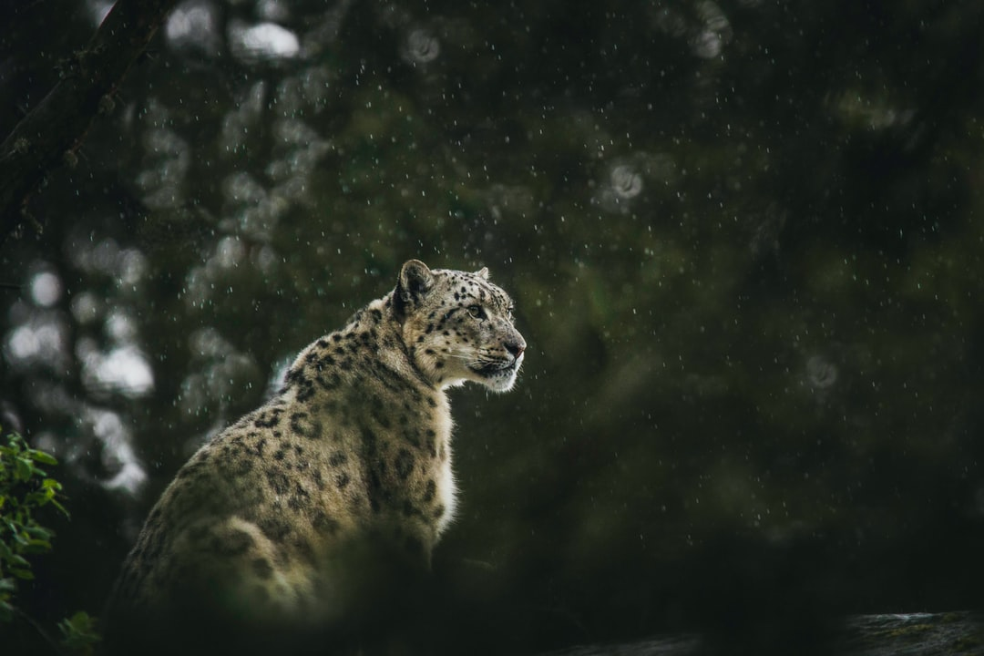 Snow Leopard Pictures | Download Free
