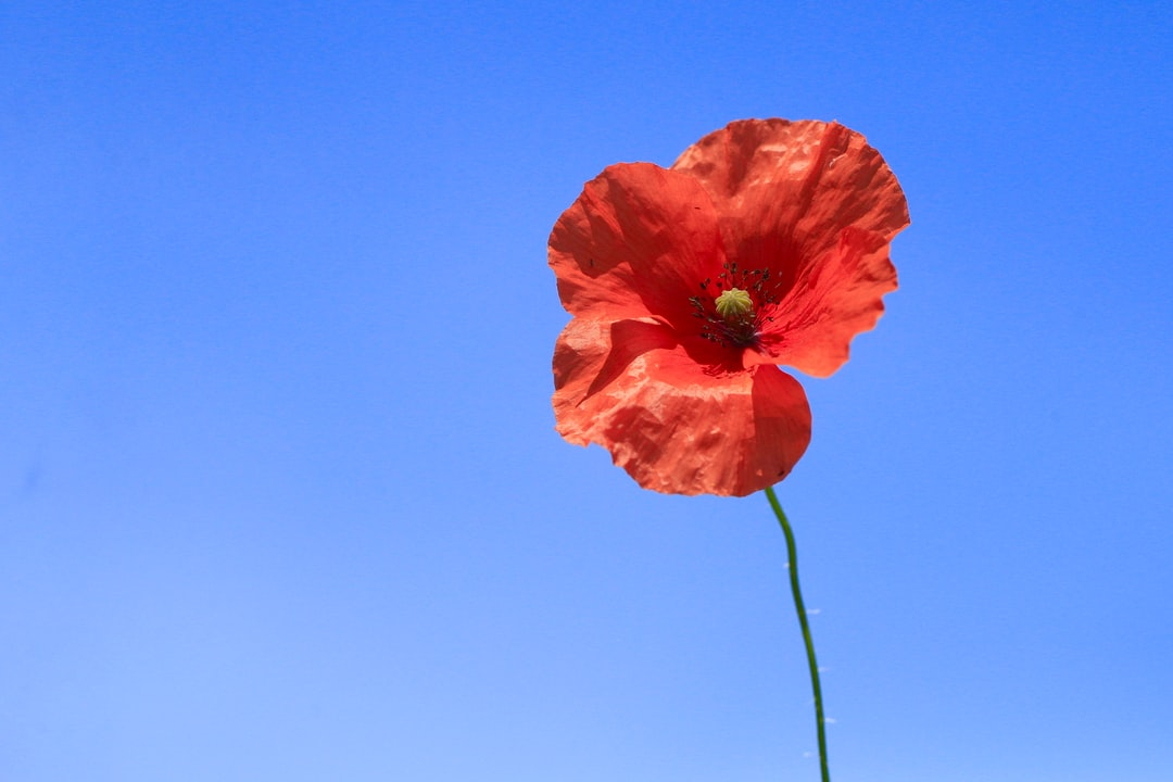 Poppy pictures download free images on unsplash mightylinksfo