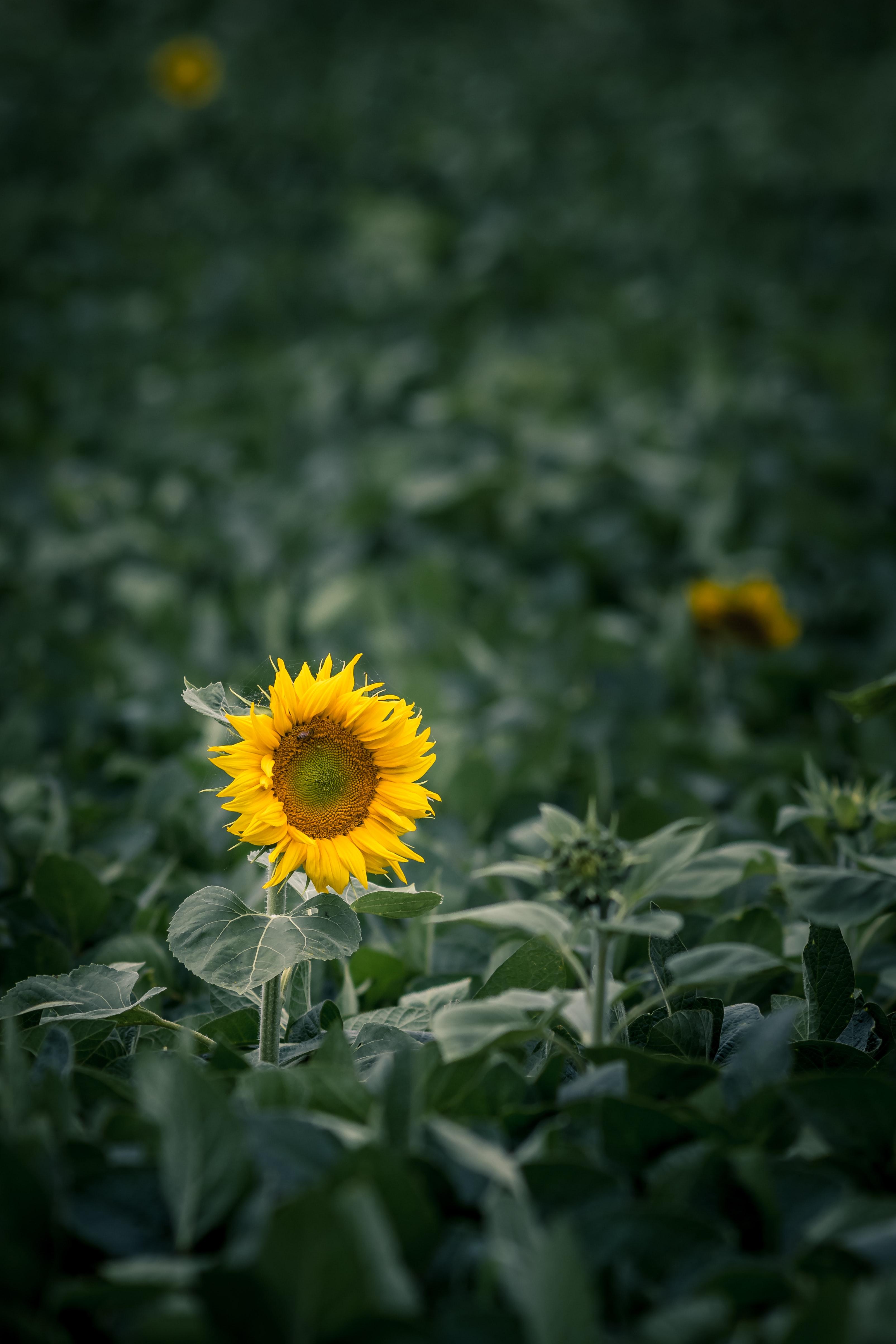 900 Sunflower Background Images Download Hd Backgrounds On Unsplash