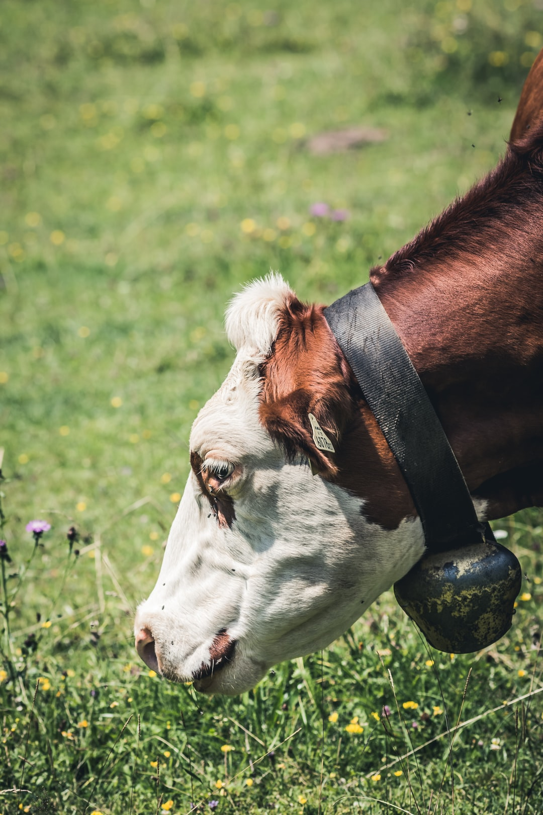 20 Best Free Cow Pictures On Unsplash