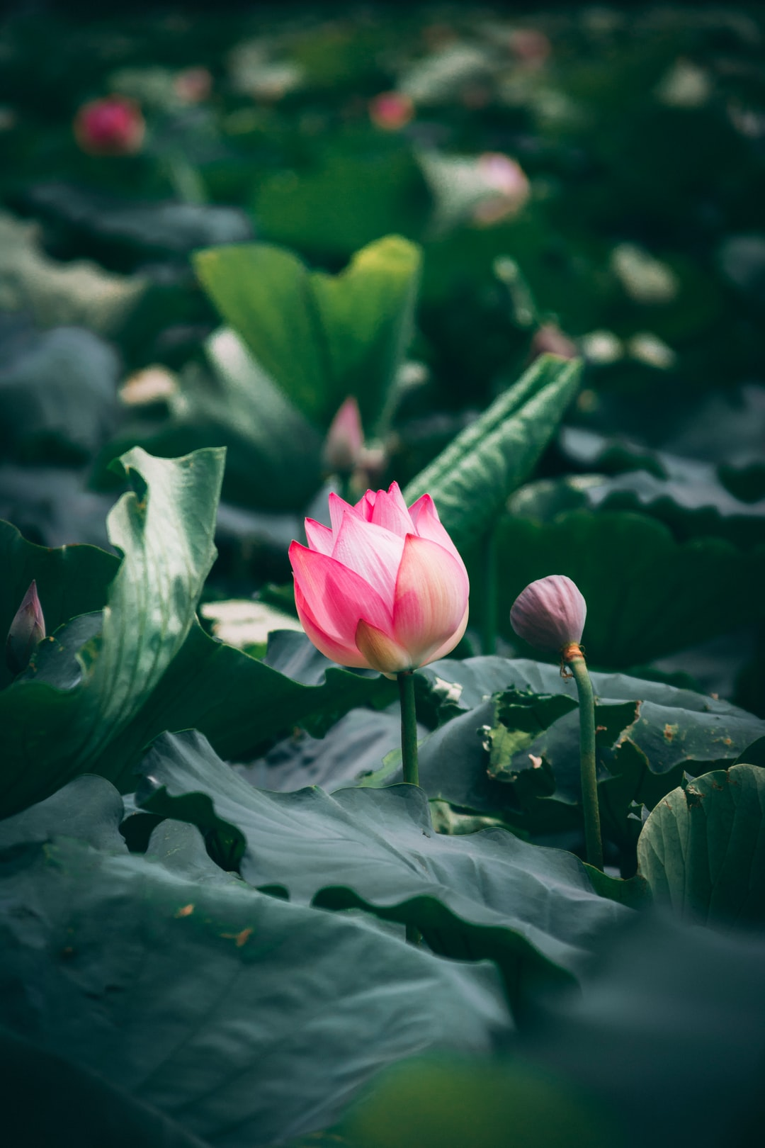 100 Lotus Flower Pictures Download Free Images On Unsplash