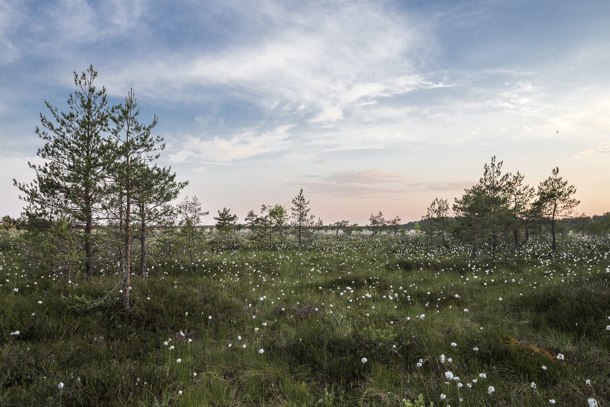 A peaceful green meadow covered with white flowers and sparse trees under wispy clouds