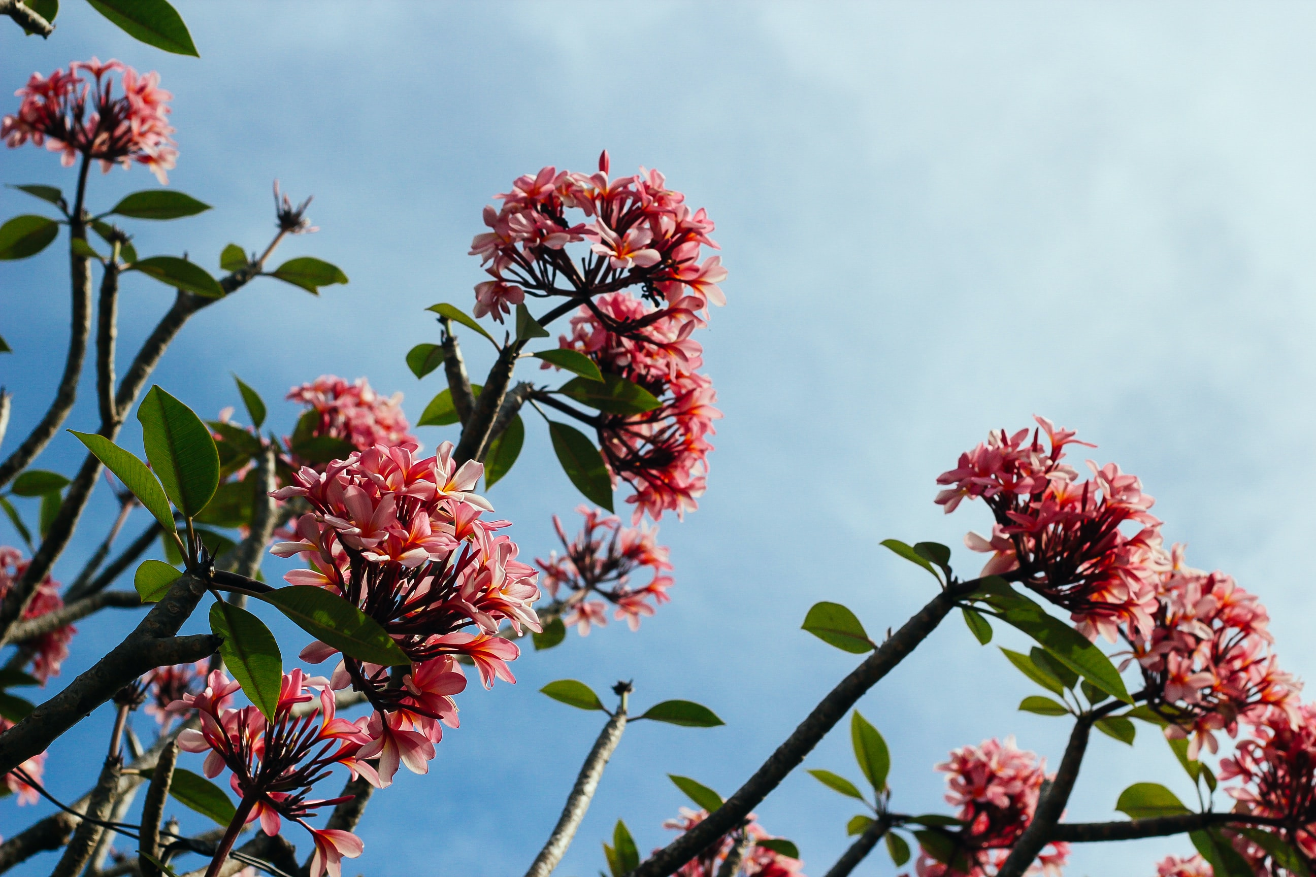 A low-angle shot of light red flowers on top of thick branches against a cloudy sky