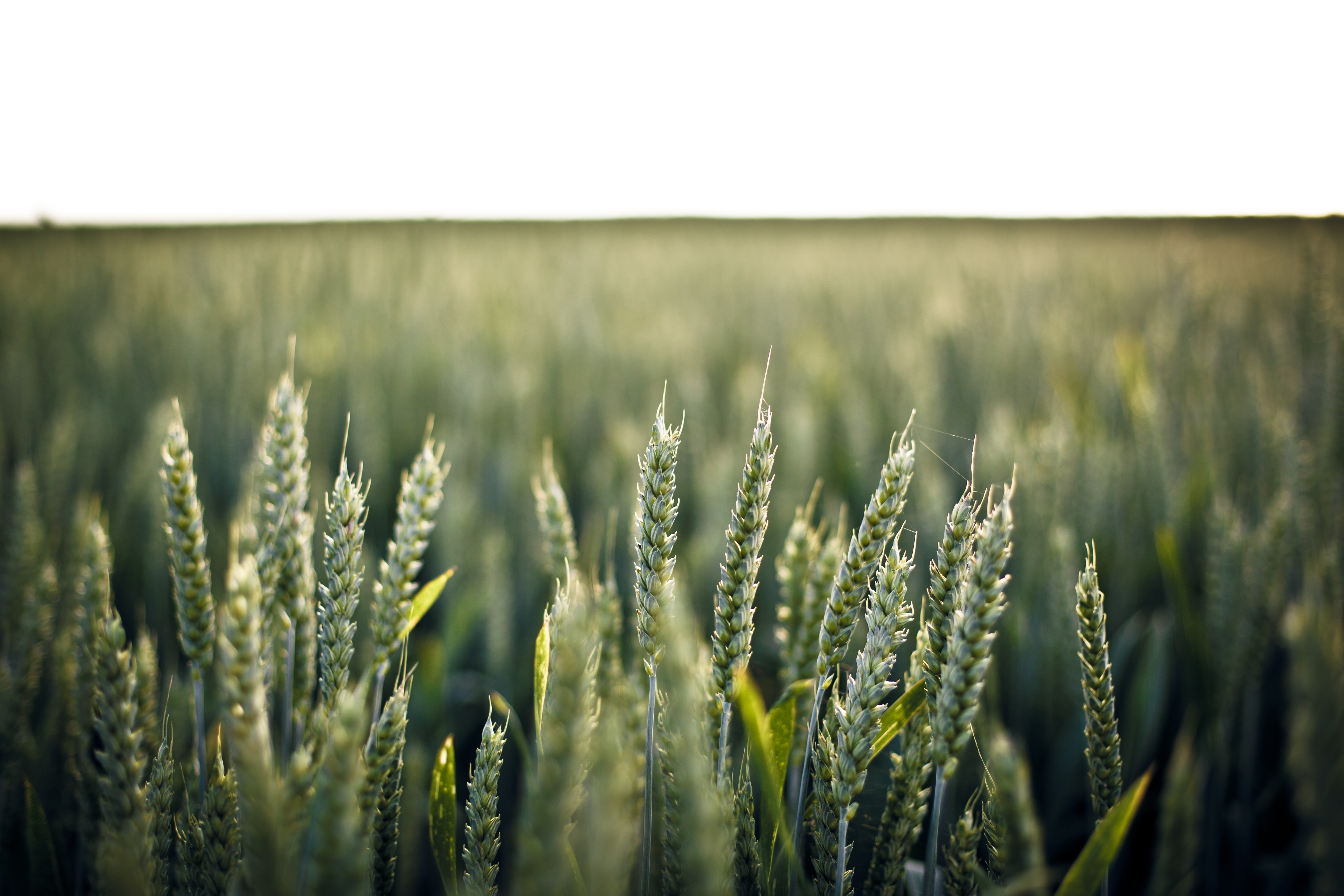 A close up of a group of fresh green wheat ears in a wheat field