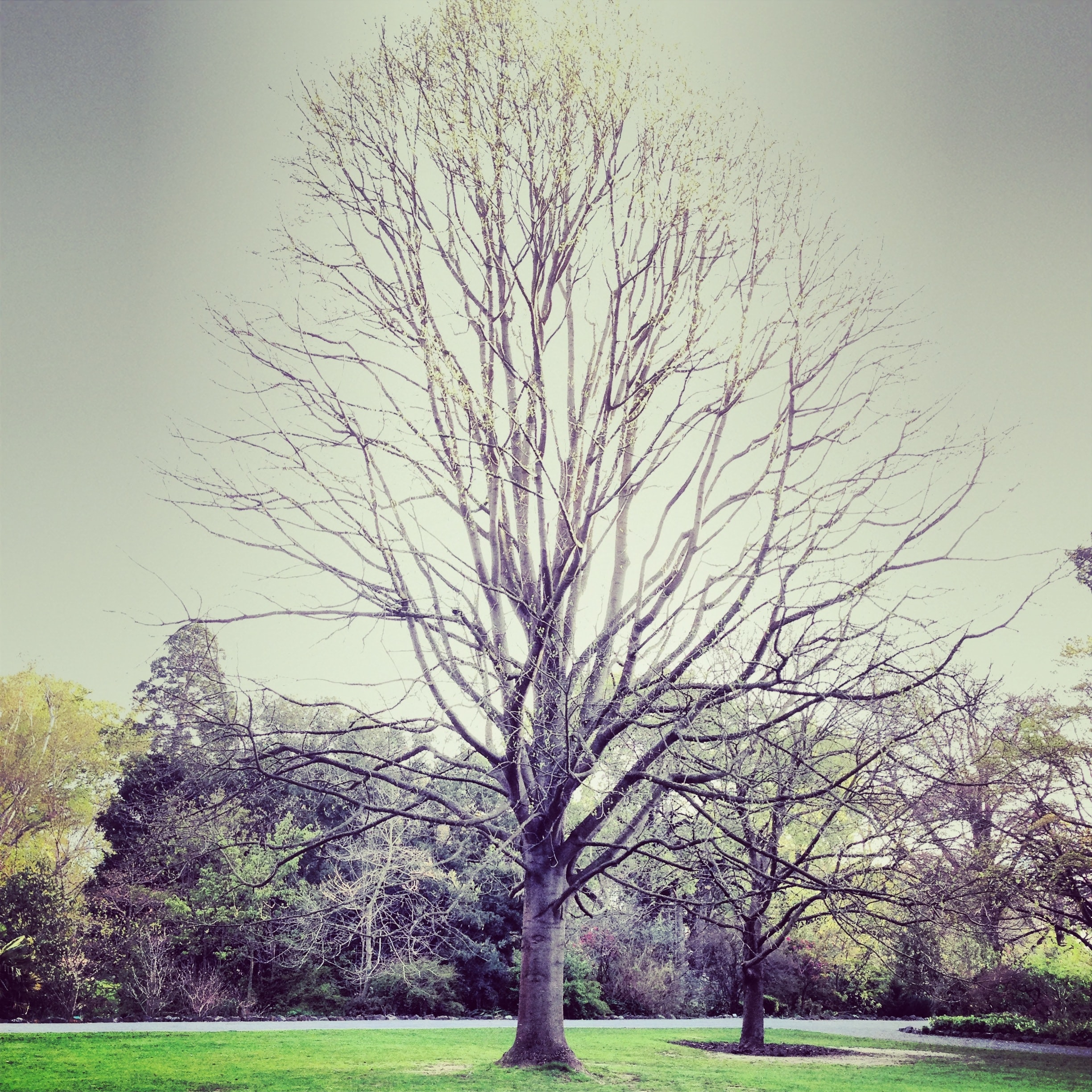 A pale shot of a bare tree in the park