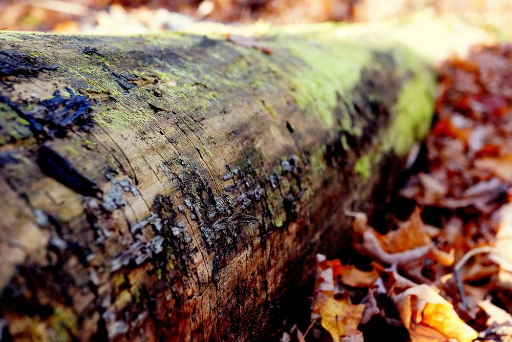 brown tree log surrounded by brown leaves