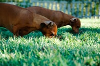 two short-coated tan puppies on grass field during dayitme