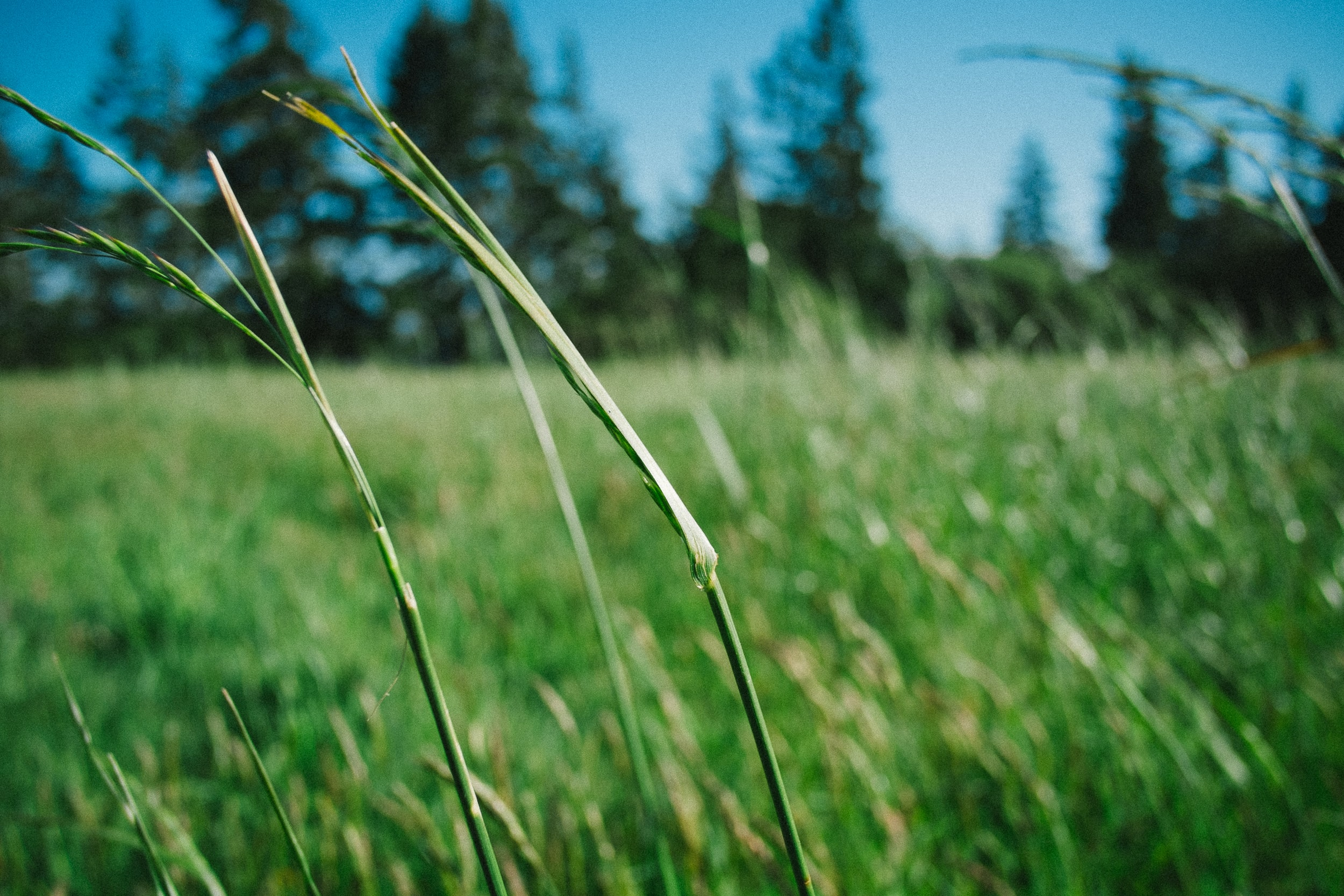 A macro shot of tall blades of grass swaying in the wind