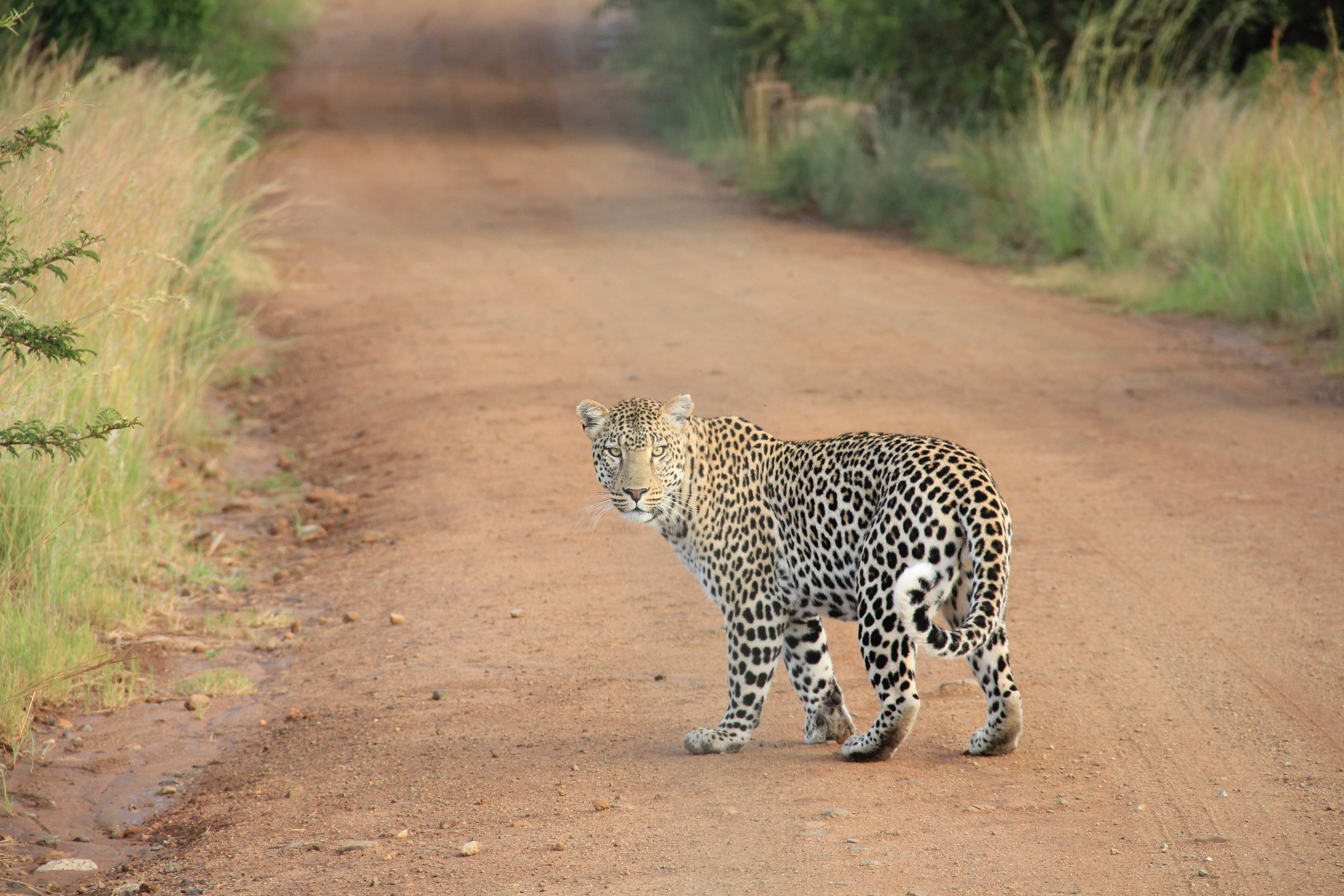 A leopard looking back at the camera on a dirt path