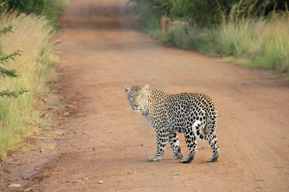 leopard on dirt road