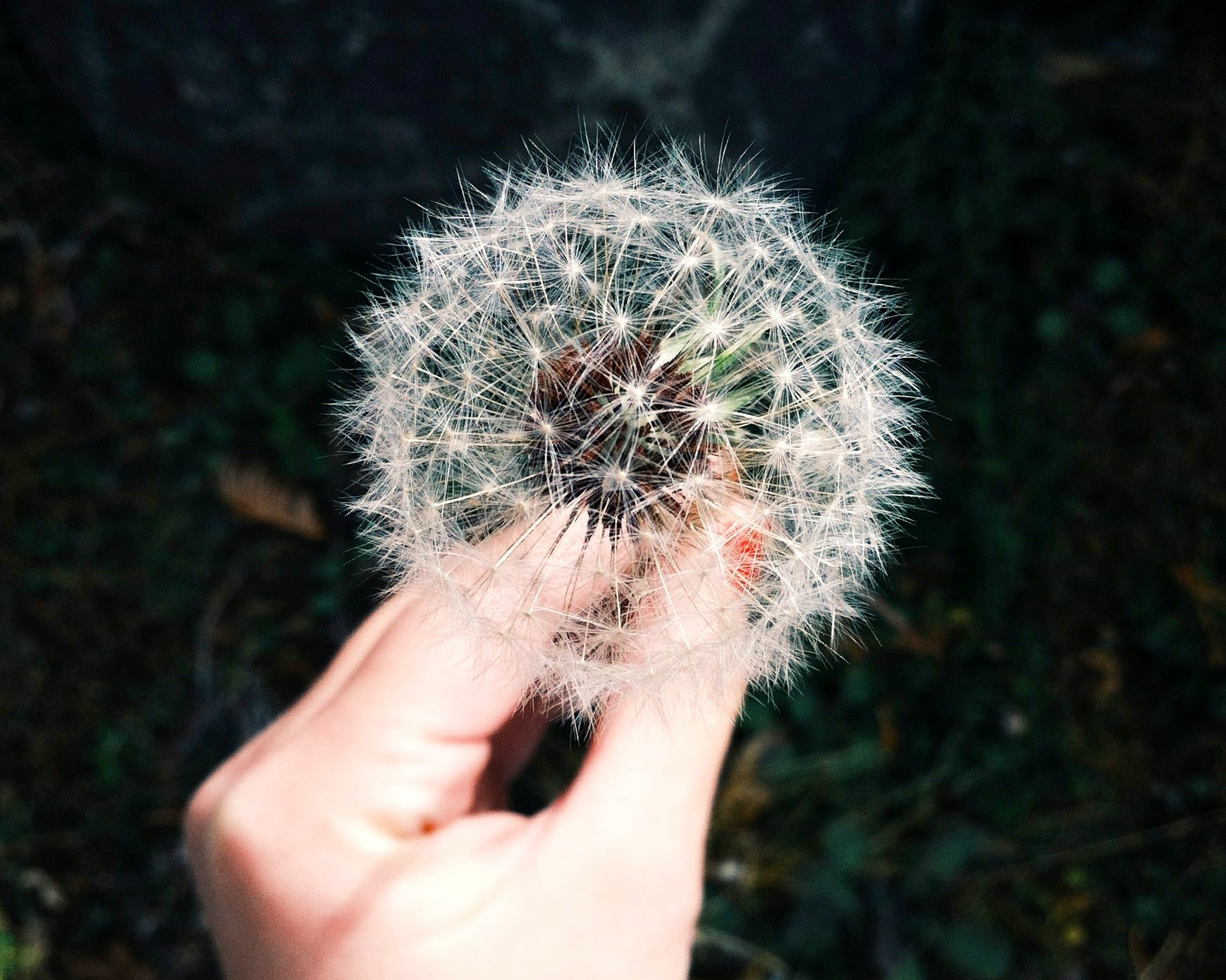 A woman's hand holding a delicate seeding dandelion