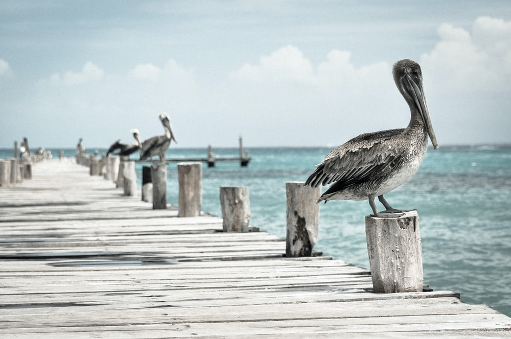 gray-and-white birds on wooden sea dock at daytime