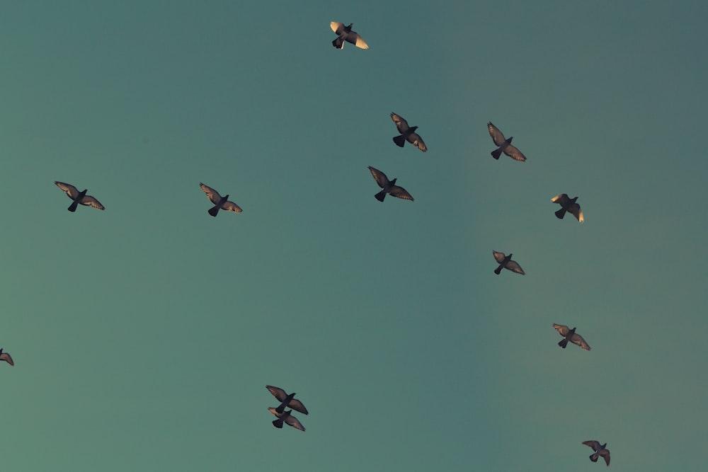 flock of brown birds flying on blue sky