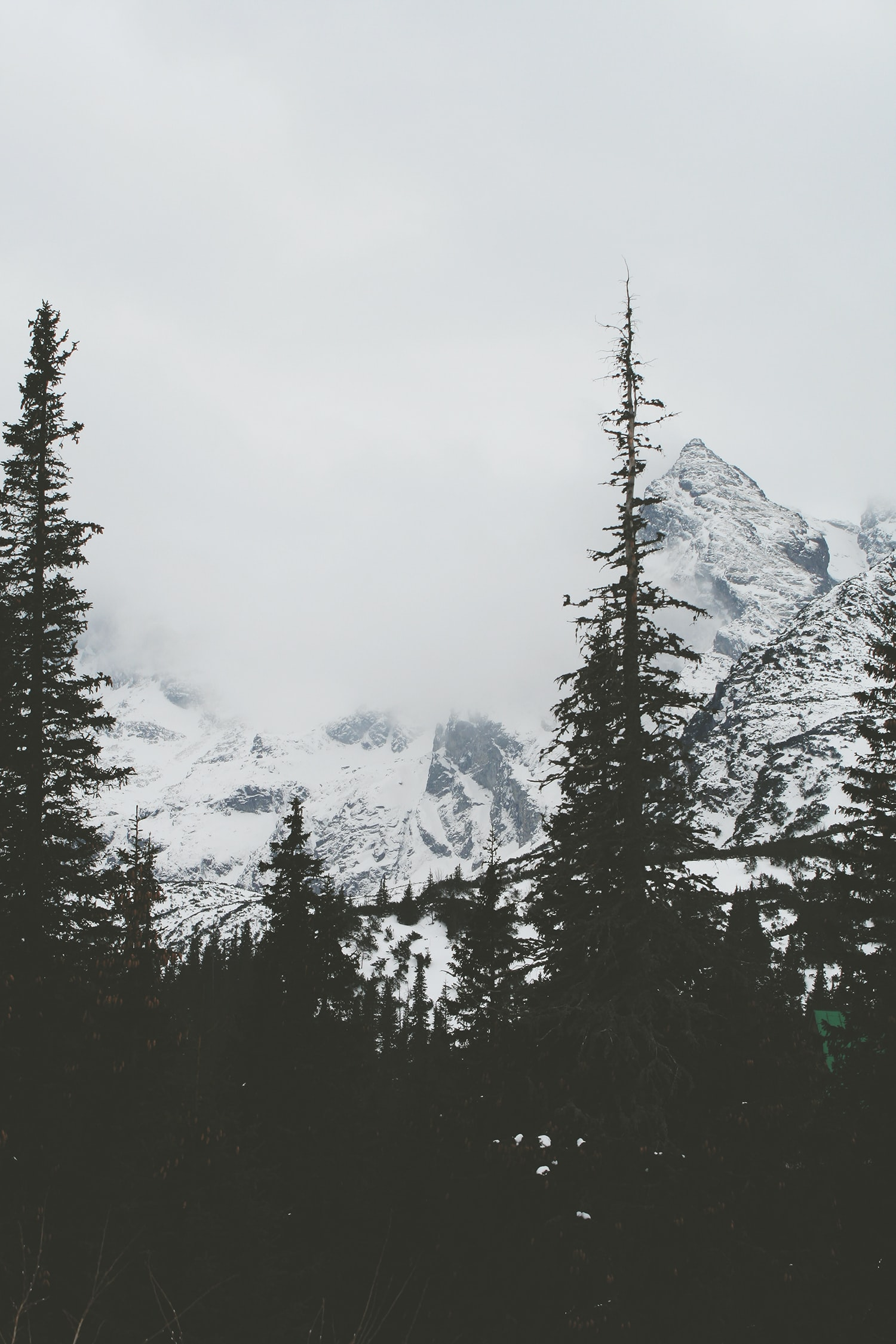 Dark silhouettes of conifers against the white background of snowy peaks