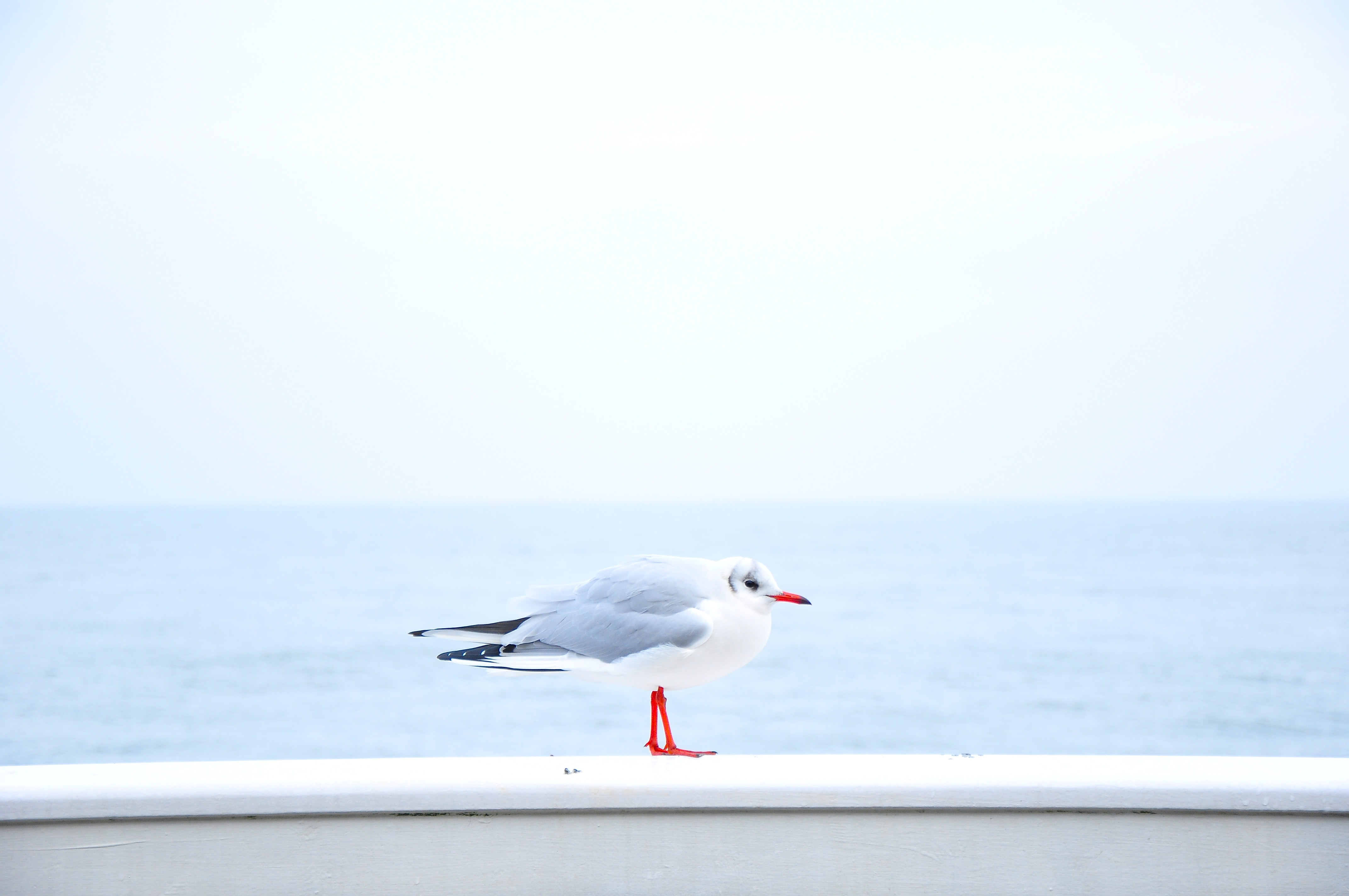 A hunching seagull standing on a white wooden rail by the sea