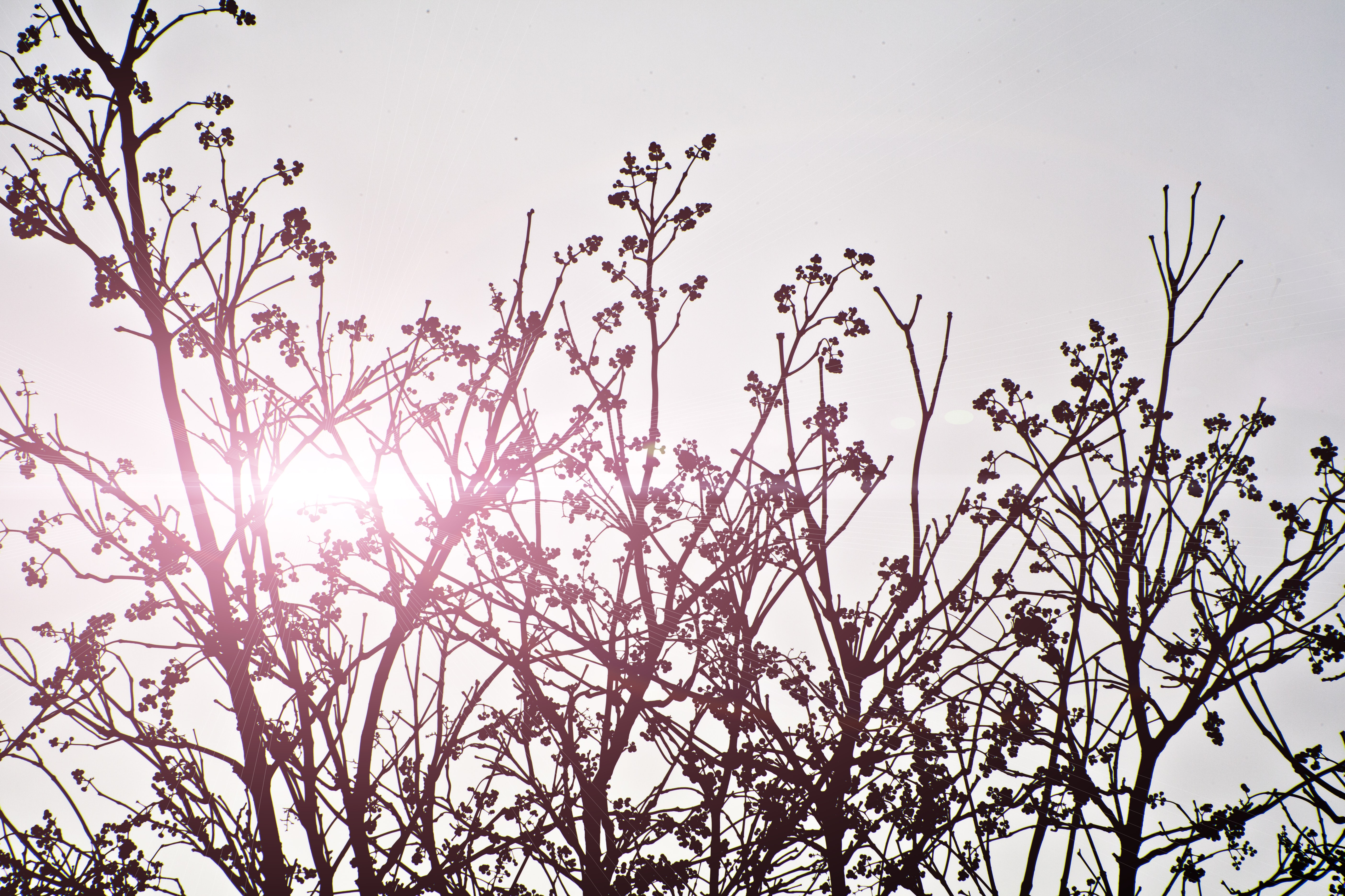 Branches covered with small berries silhouetted against a pale pink sky