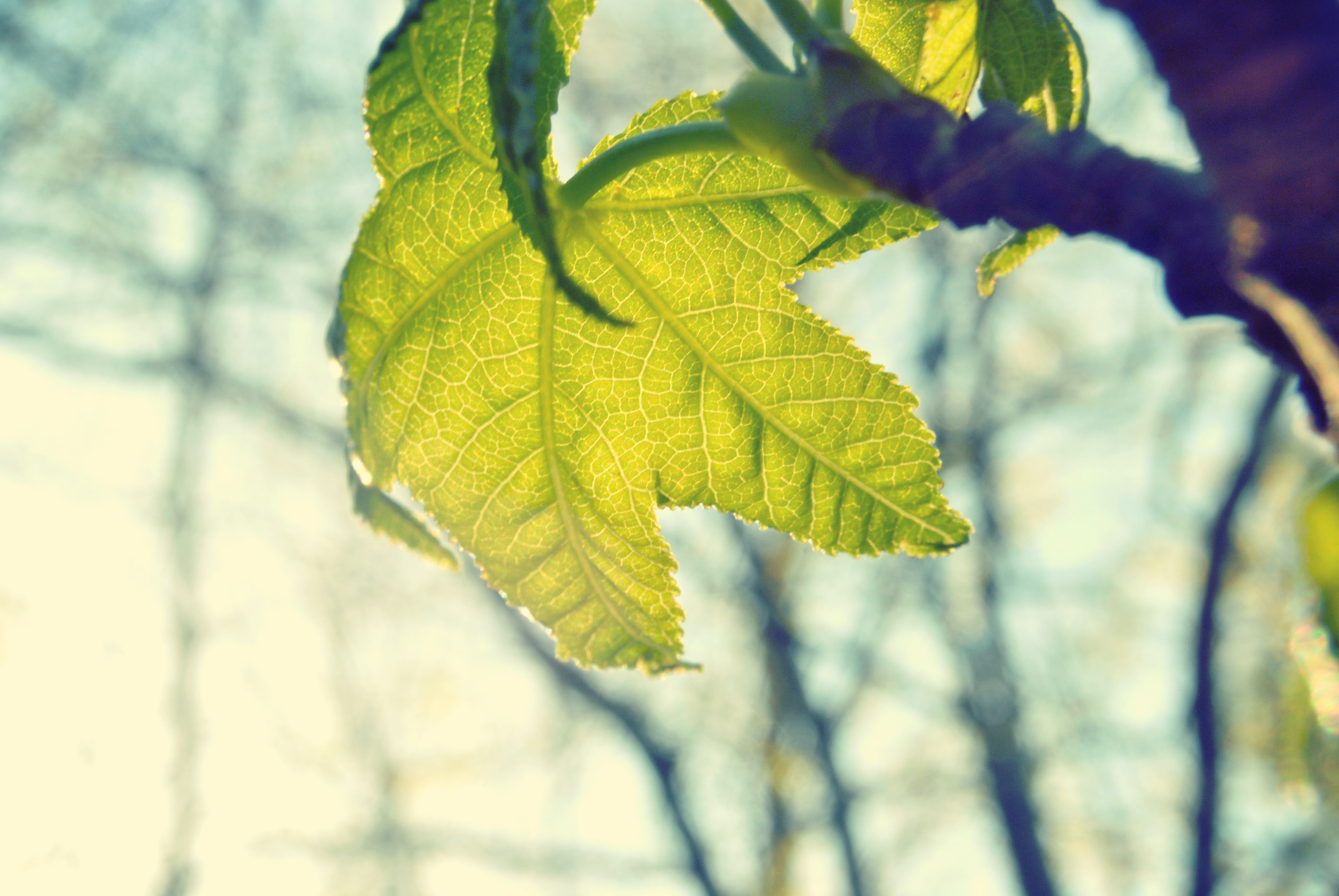 Sun shining through a light green maple leaf hanging down from a branch