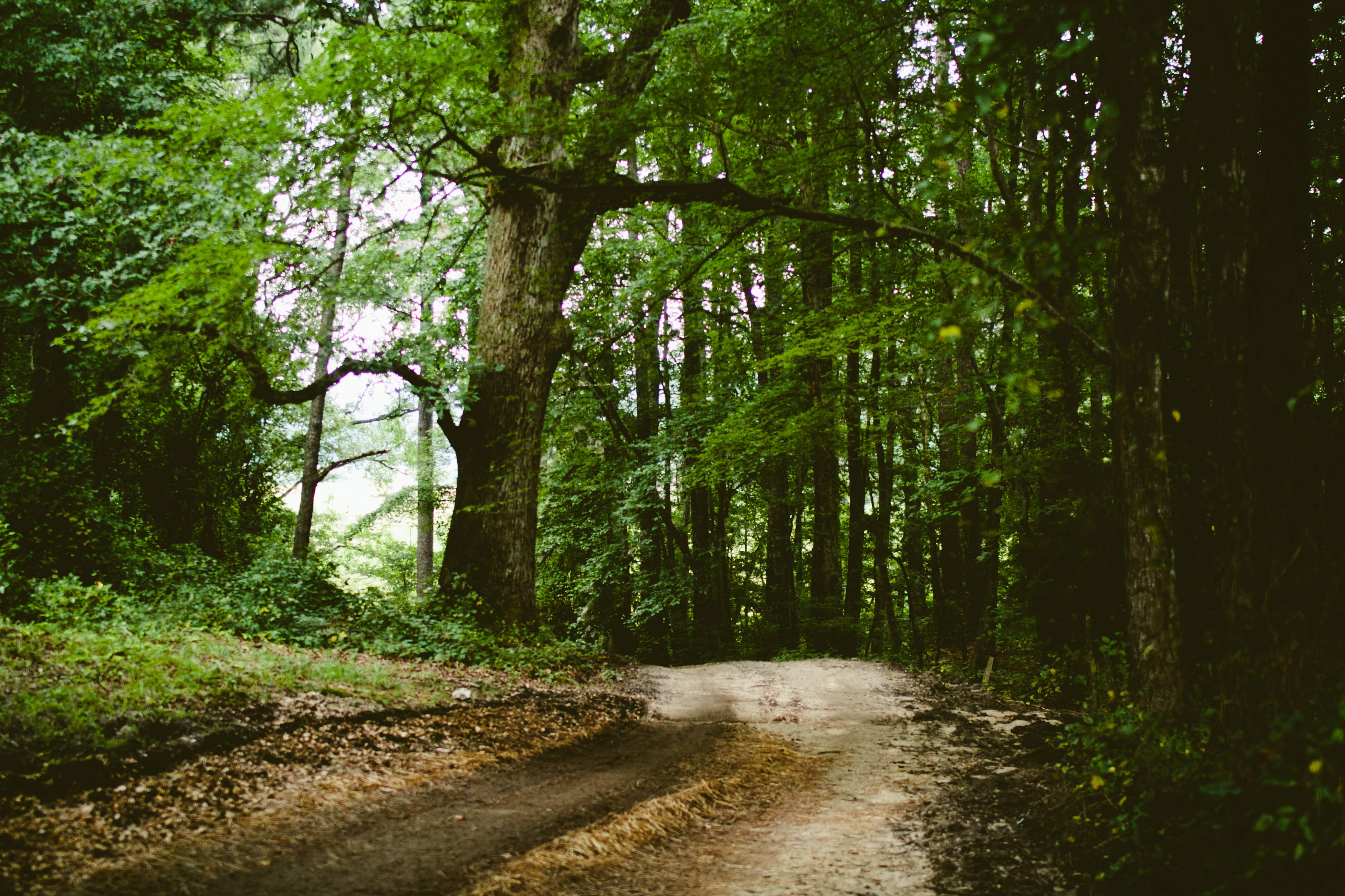 A leaf-covered dirt road through a green forest