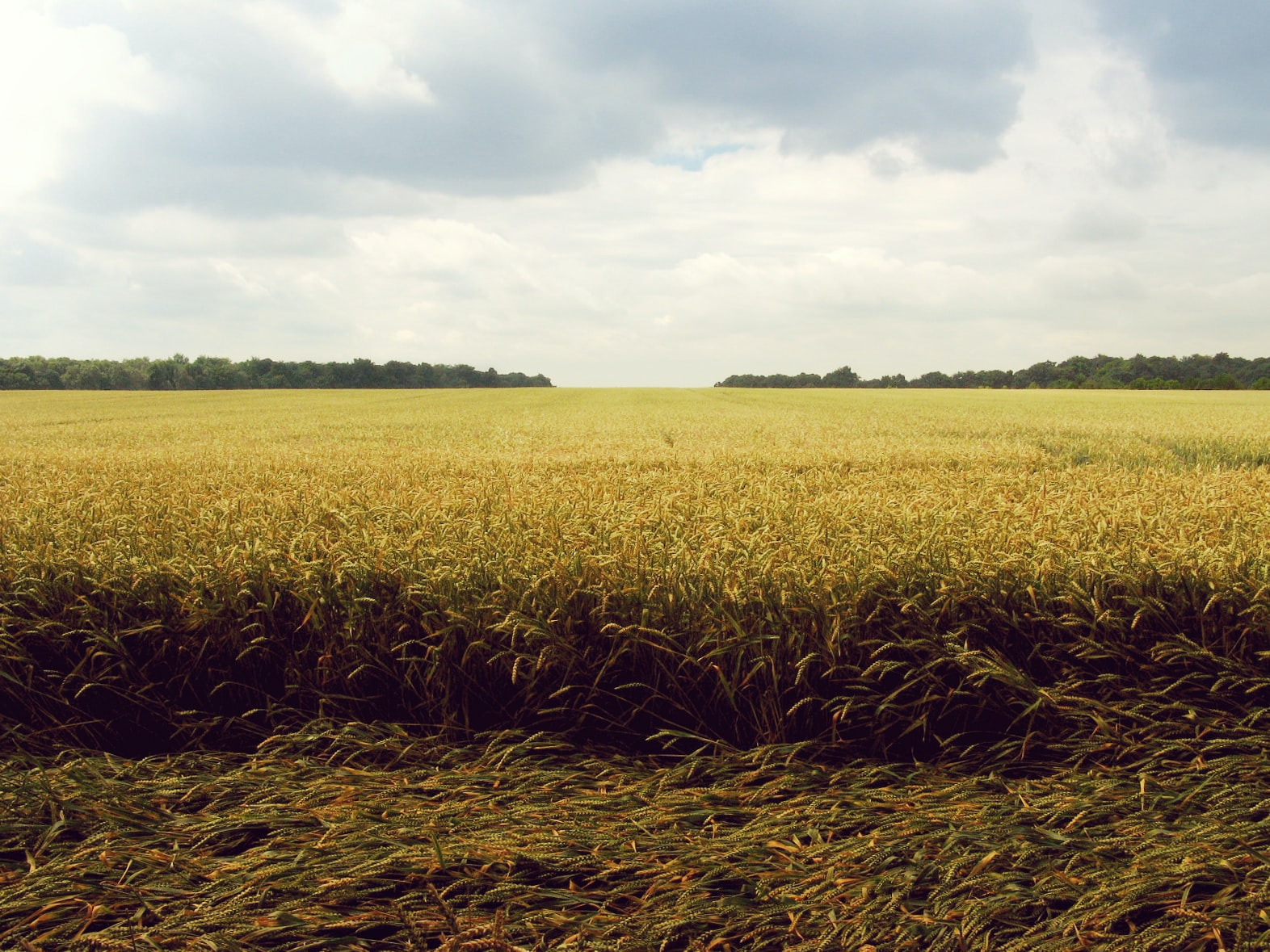 wheat field under blue and white sky