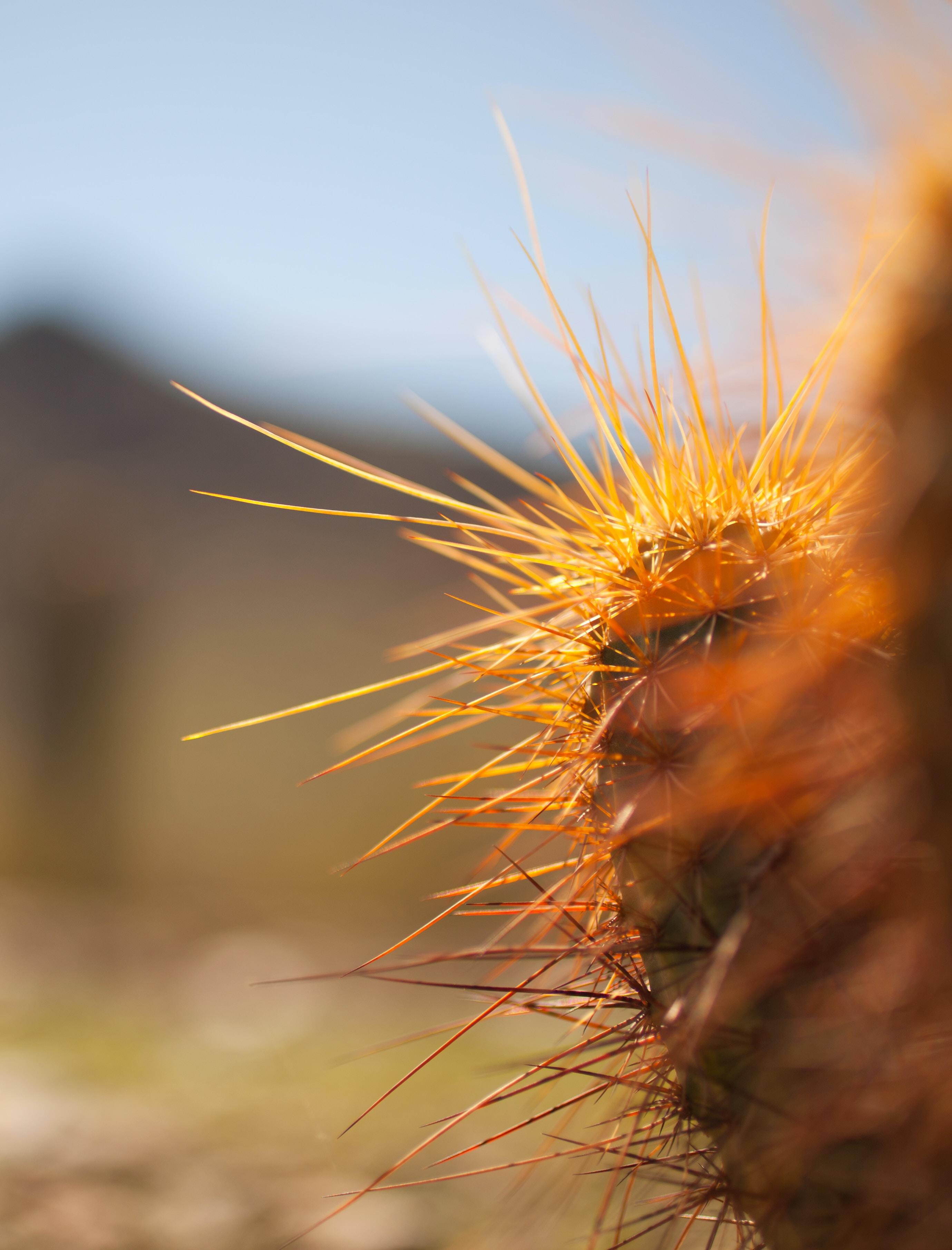A macro shot of long orange needles on a cactus
