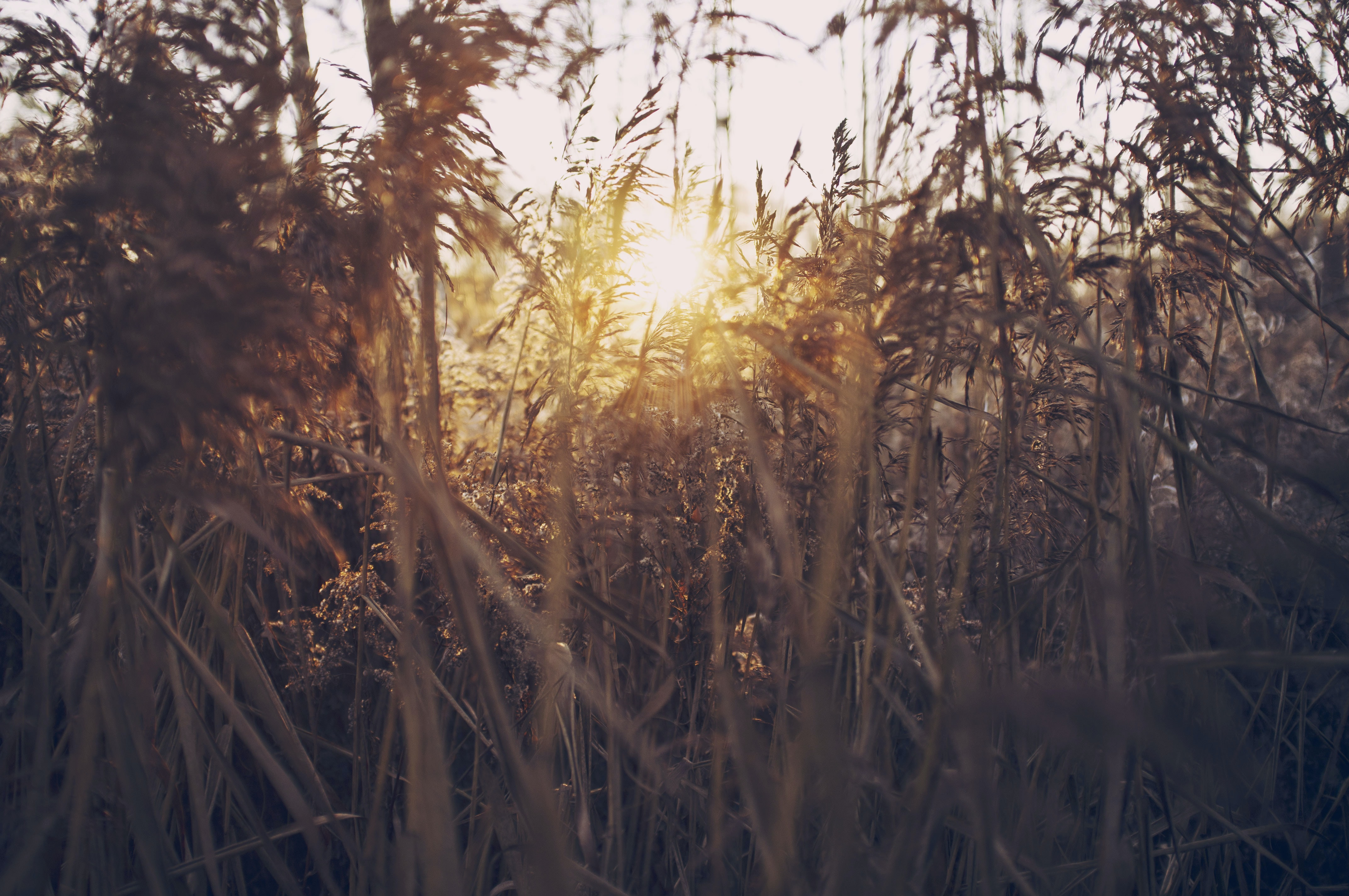 Sun shining through a thick patch of golden reeds