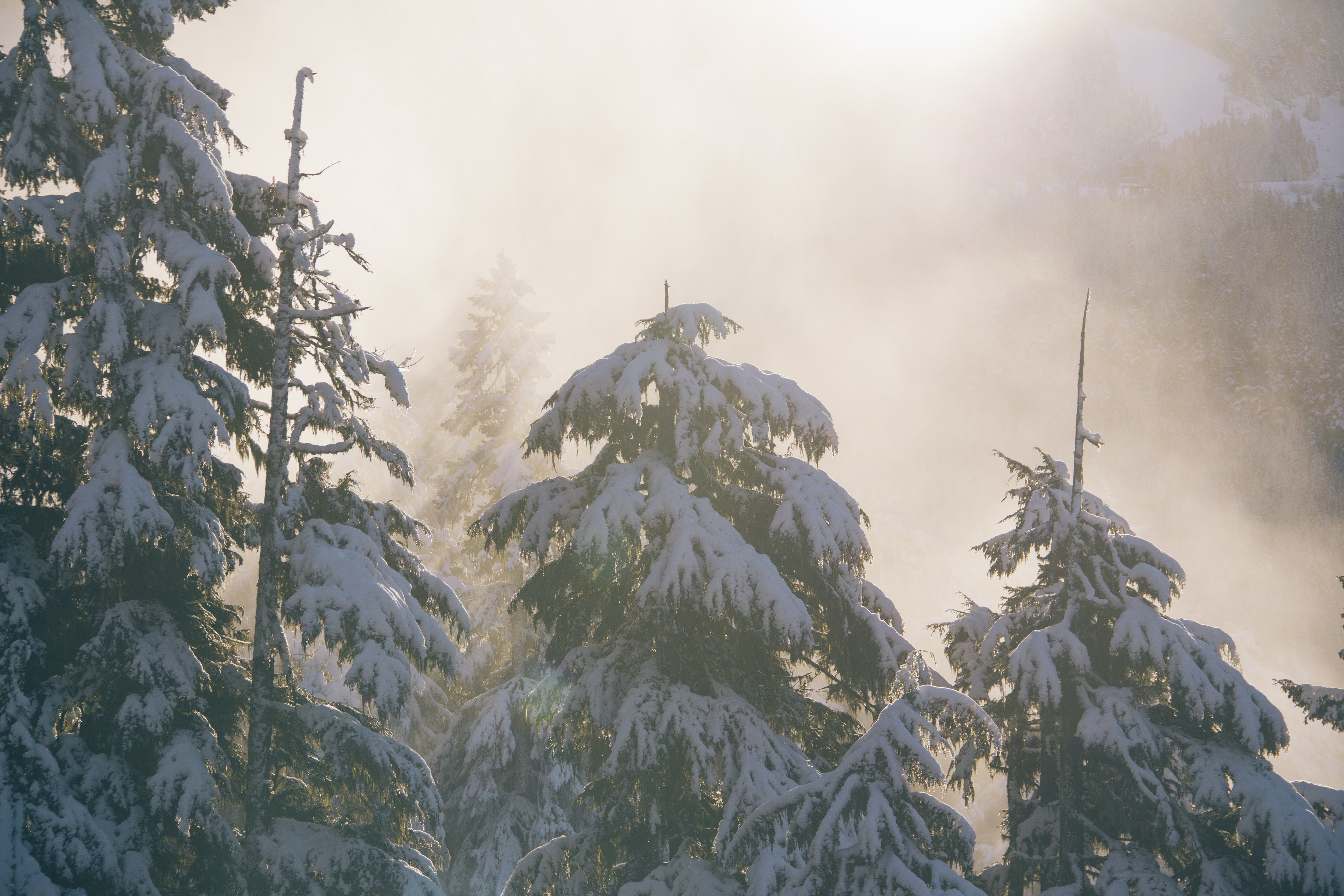 Pine trees covered with snow in a foggy forest