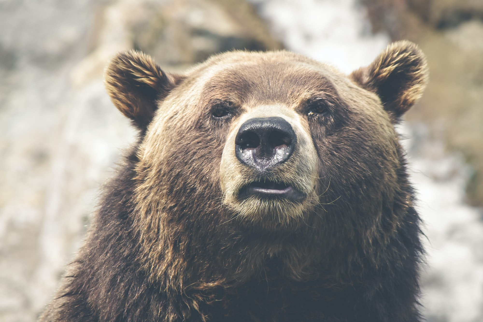 Thoughtful grizzly