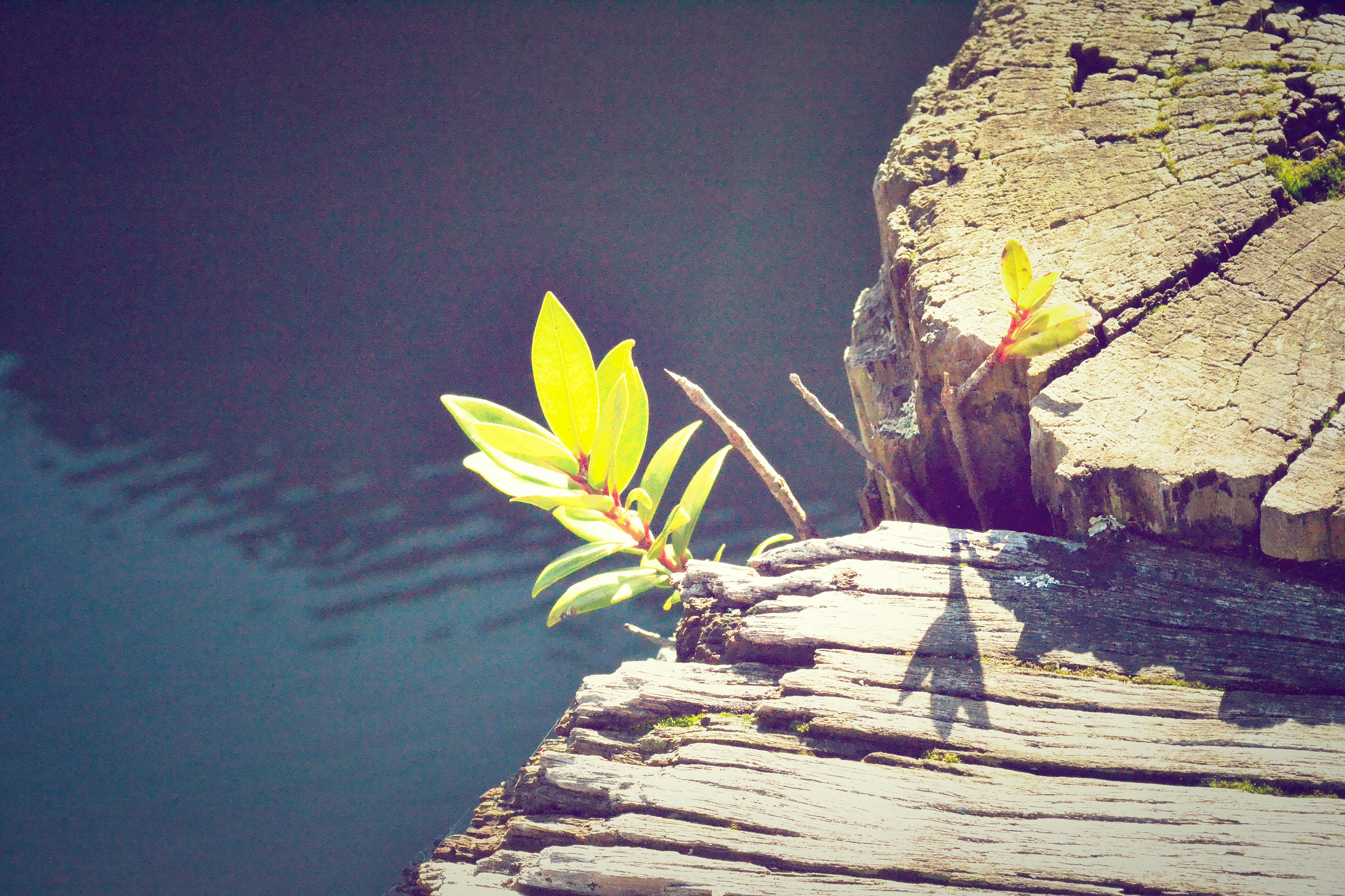 Green leafy plant growing near rock by water in Spring