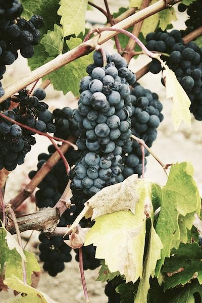 4626. Bor,szőlő, borászatok
