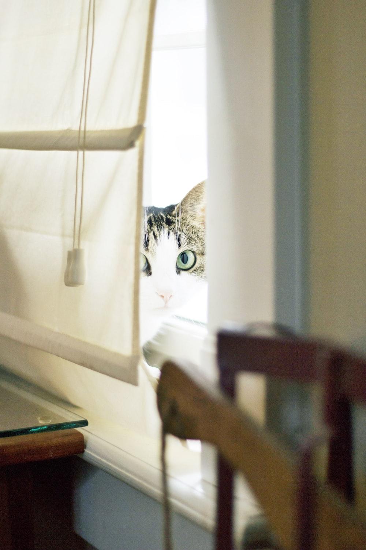 cat peeking from window cover