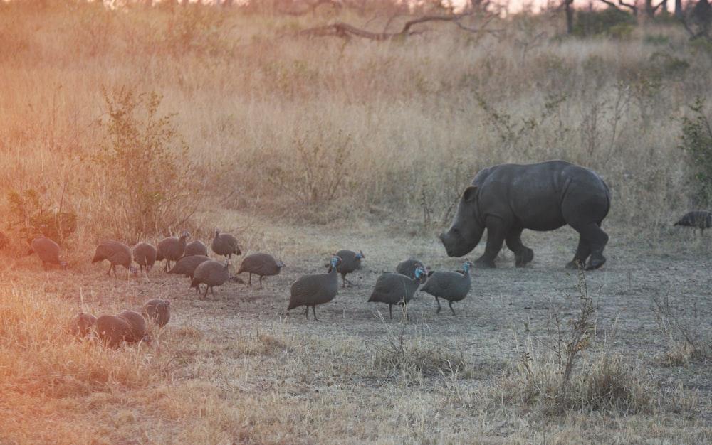 flock of birds near rhino