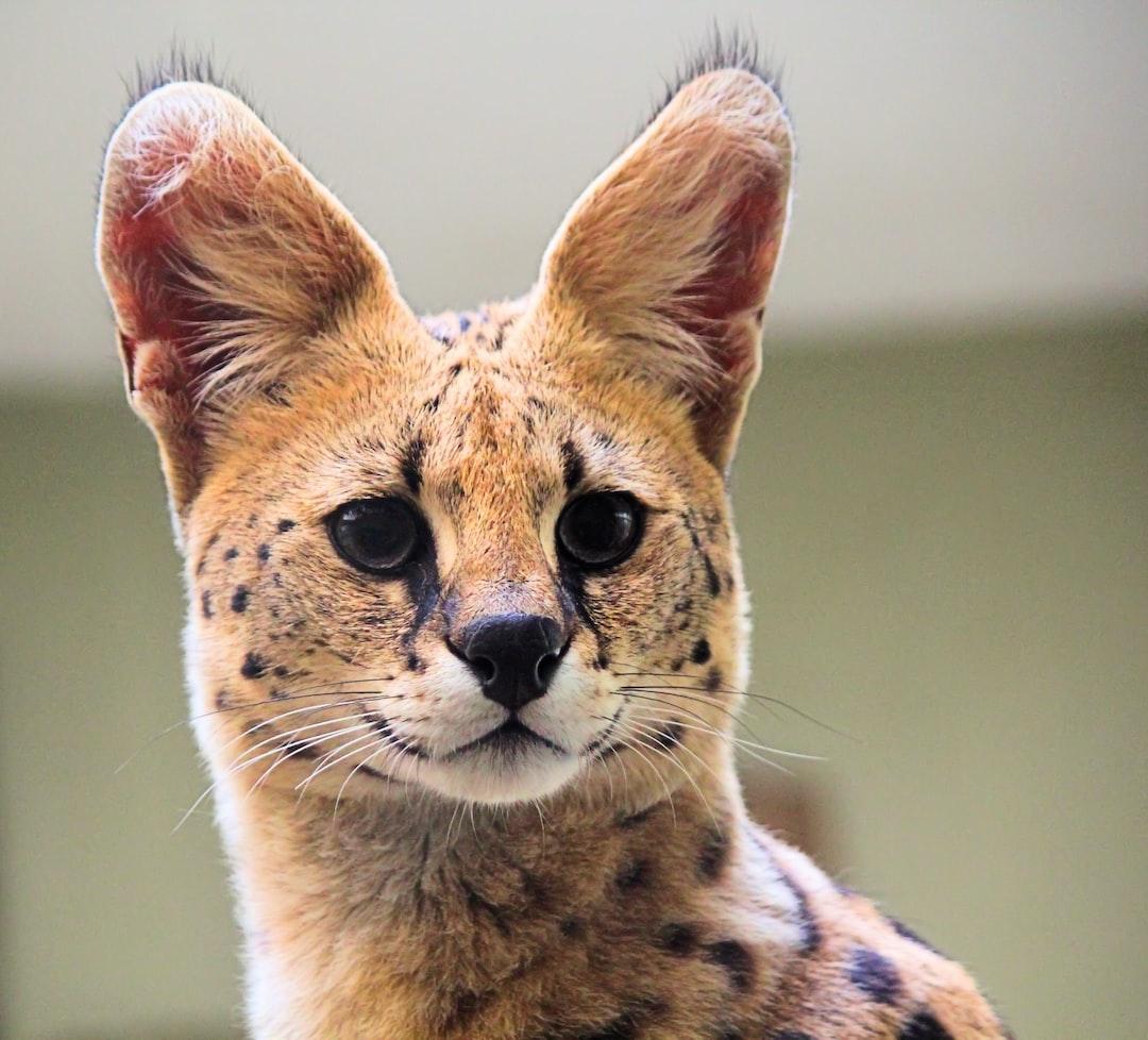 Startled serval
