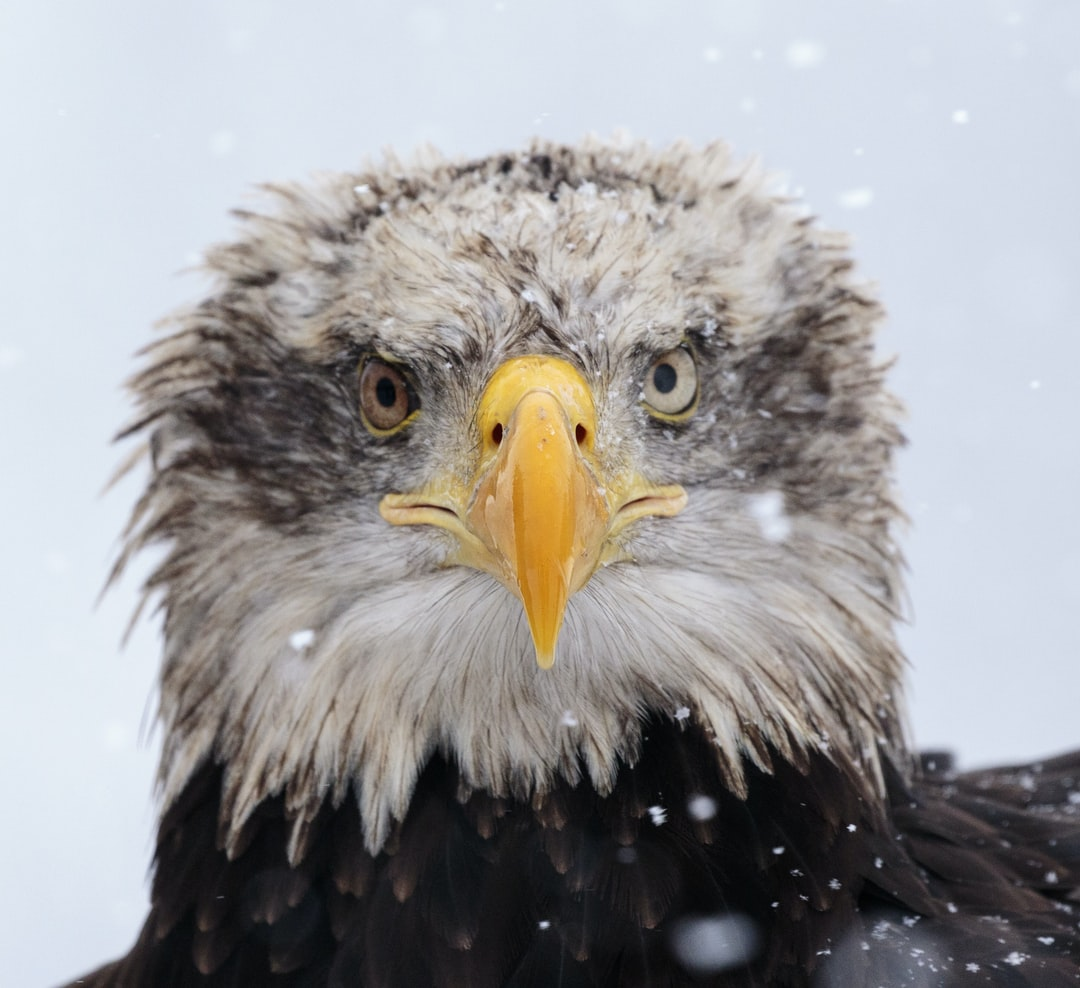 Eagle, bird, animal and bald eagle HD photo by Zdeněk Macháček (@zmachacek) on Unsplash