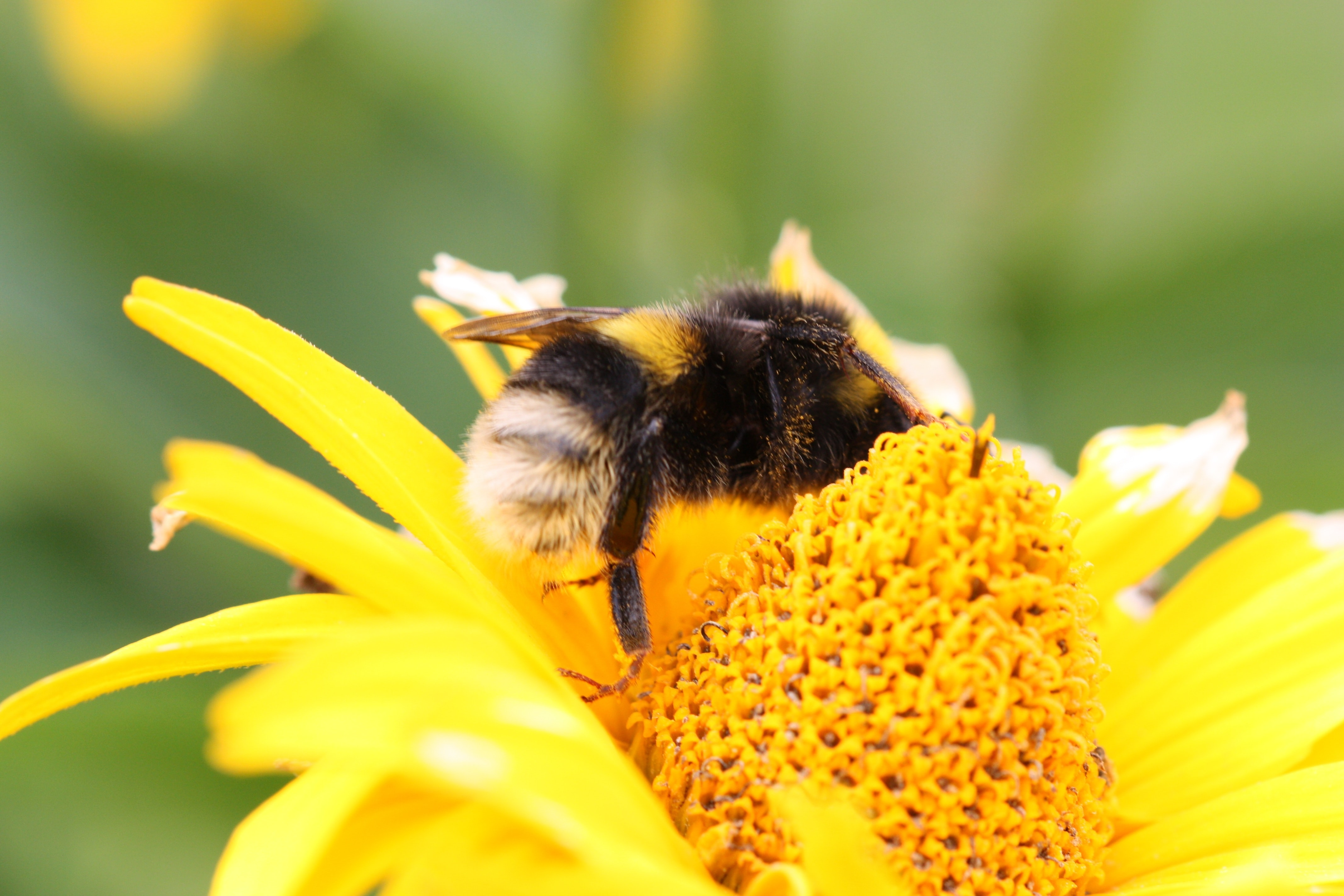 yellow and black bee on yellow-petaled flower