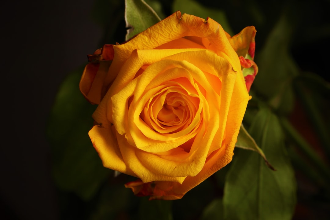 Yellow rose with dark leafs in the background
