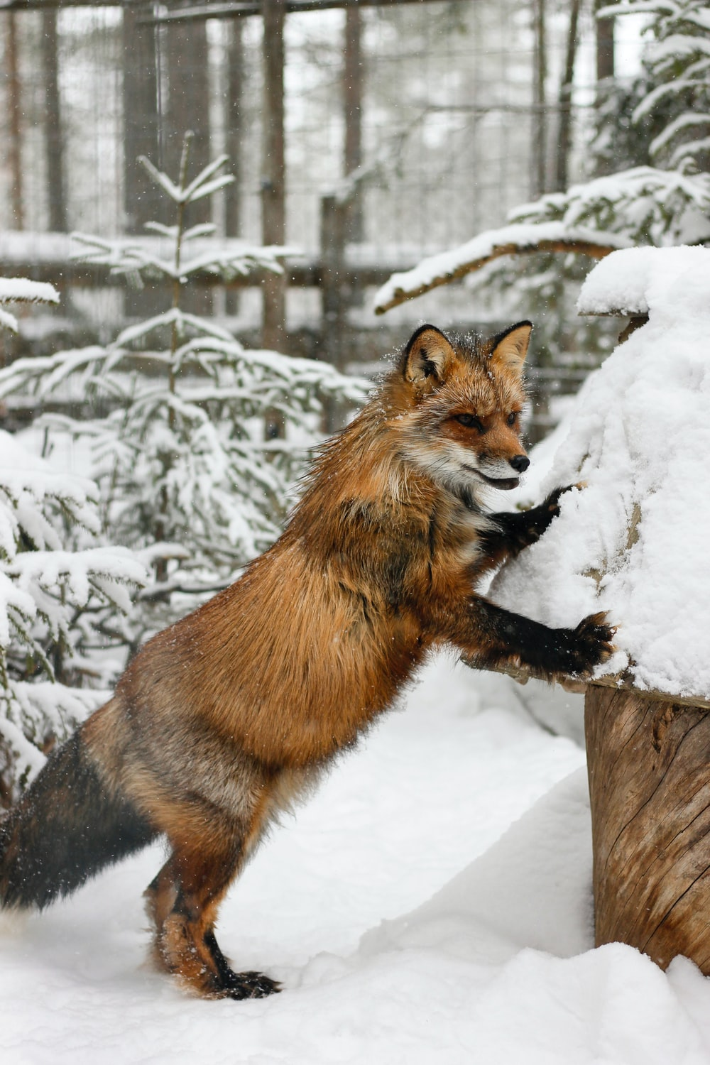 brown fox leaning on white pet house