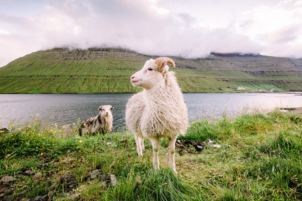 white mountain goat on green grass field near river