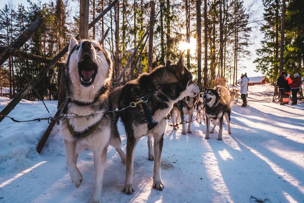 adult Siberian Husky dogs