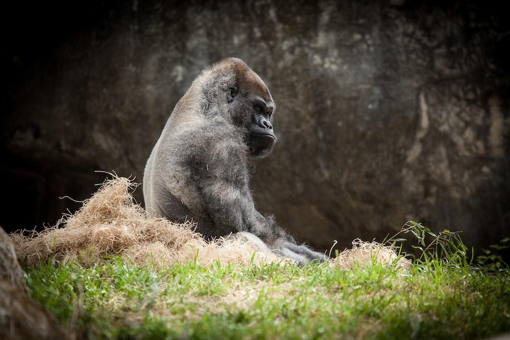 black gorilla sitting on grass field