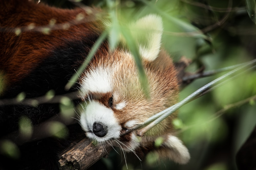 selective focus photography of red panda