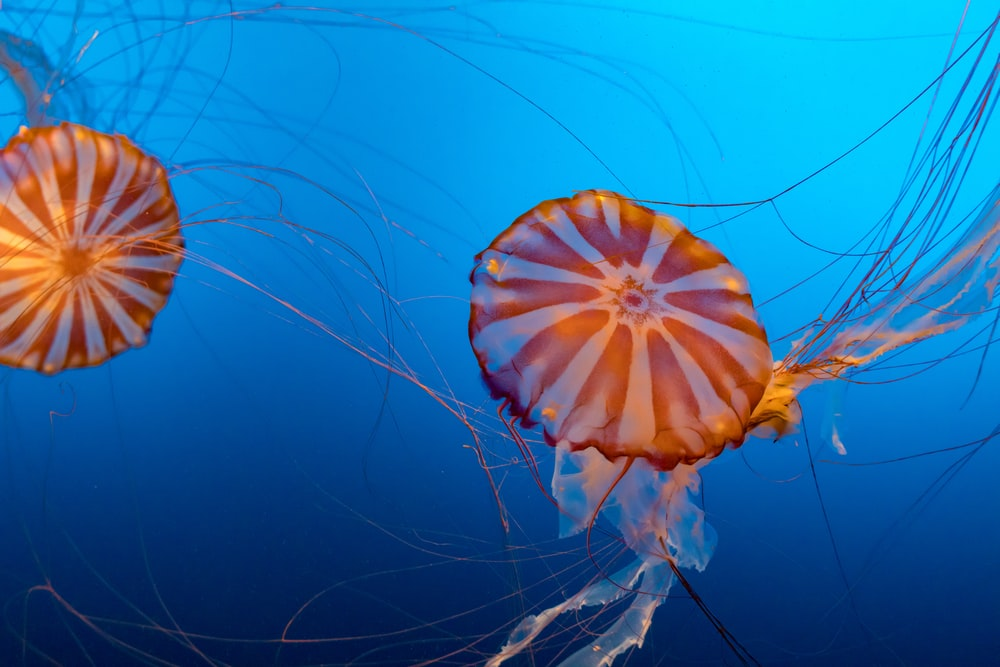 two brown and white jellyfishes