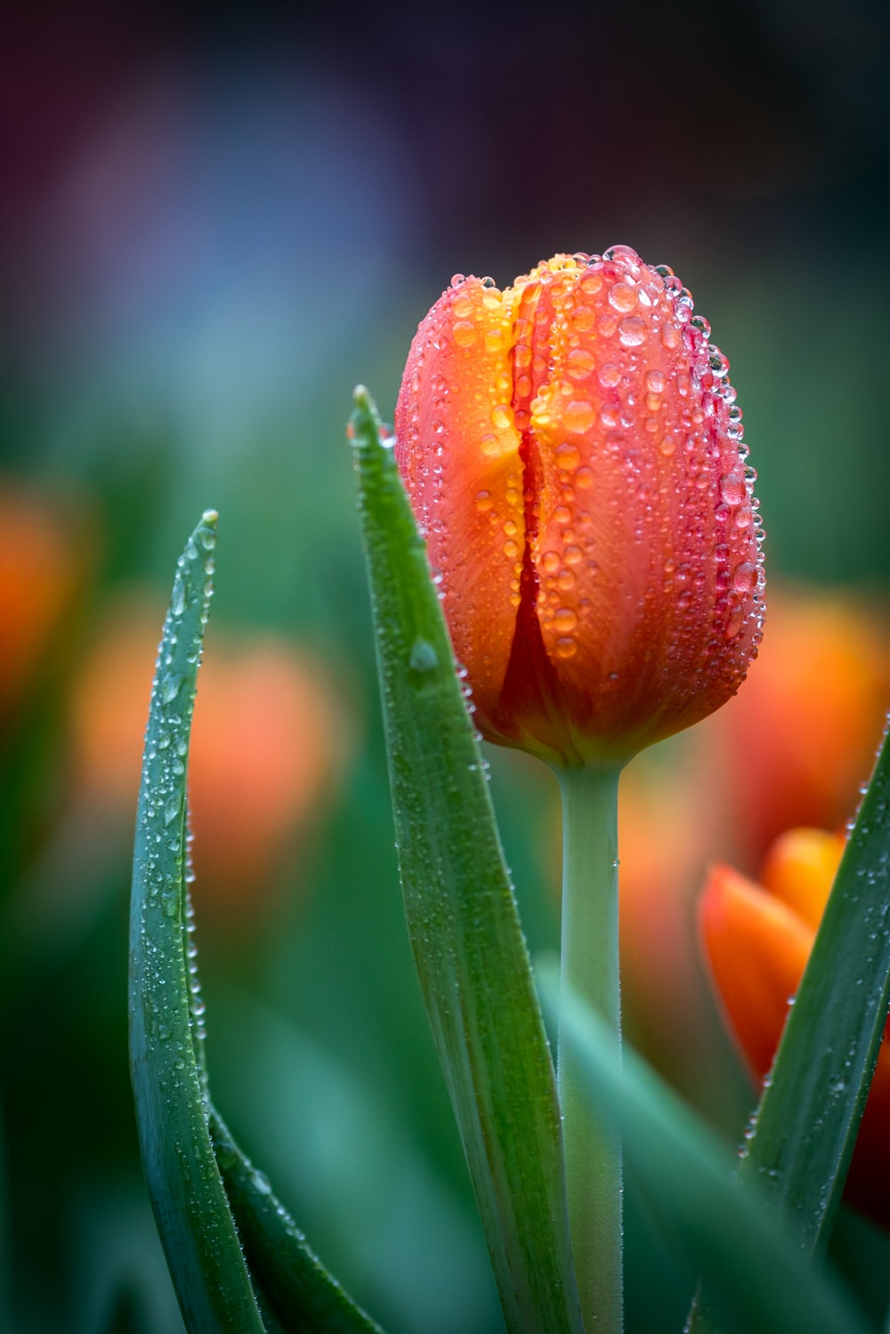 selective focus photography of red tulip