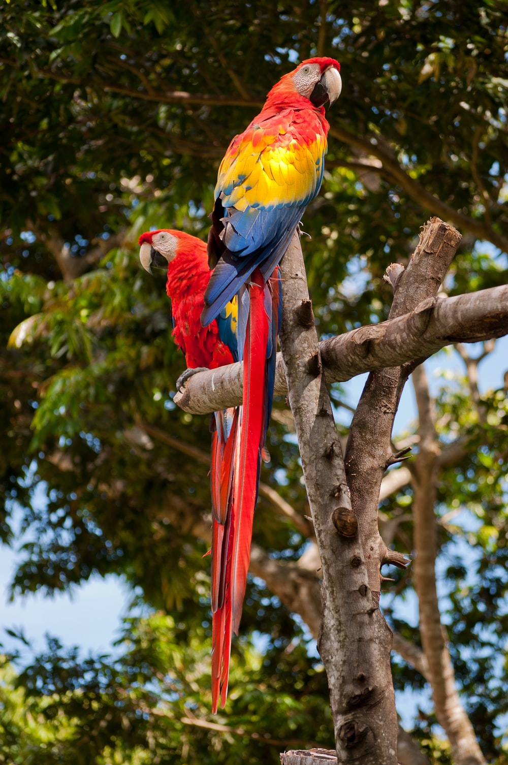 two red macaws perching on wood