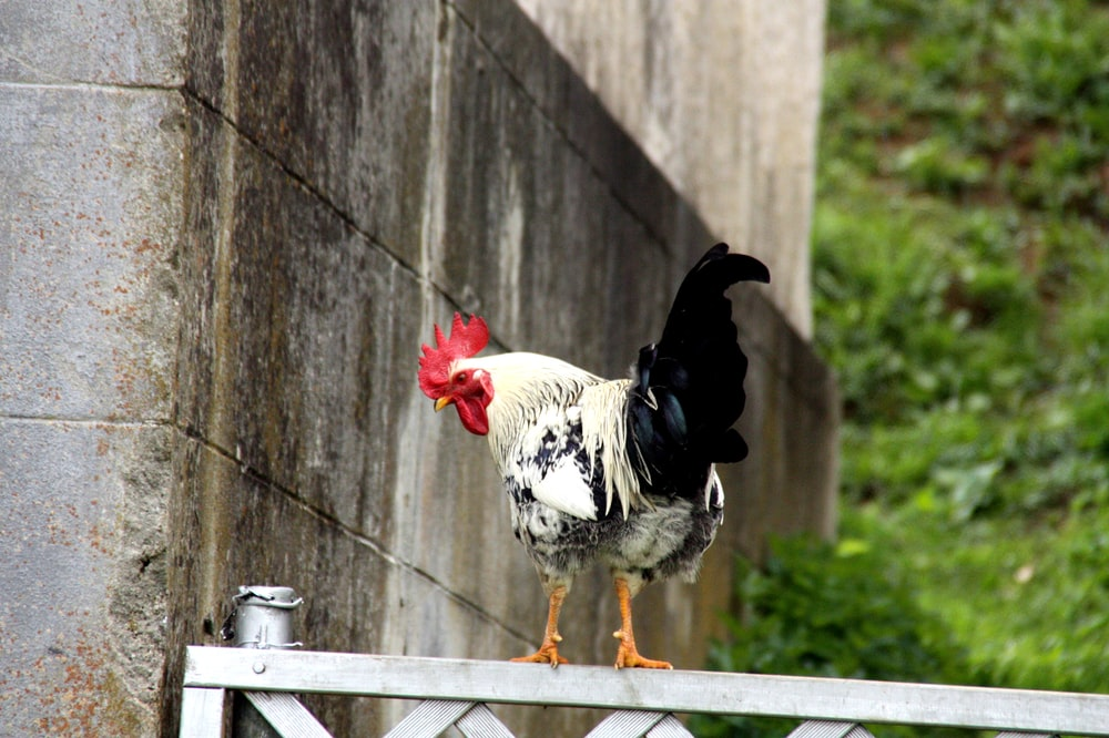 white and black rooster on fence